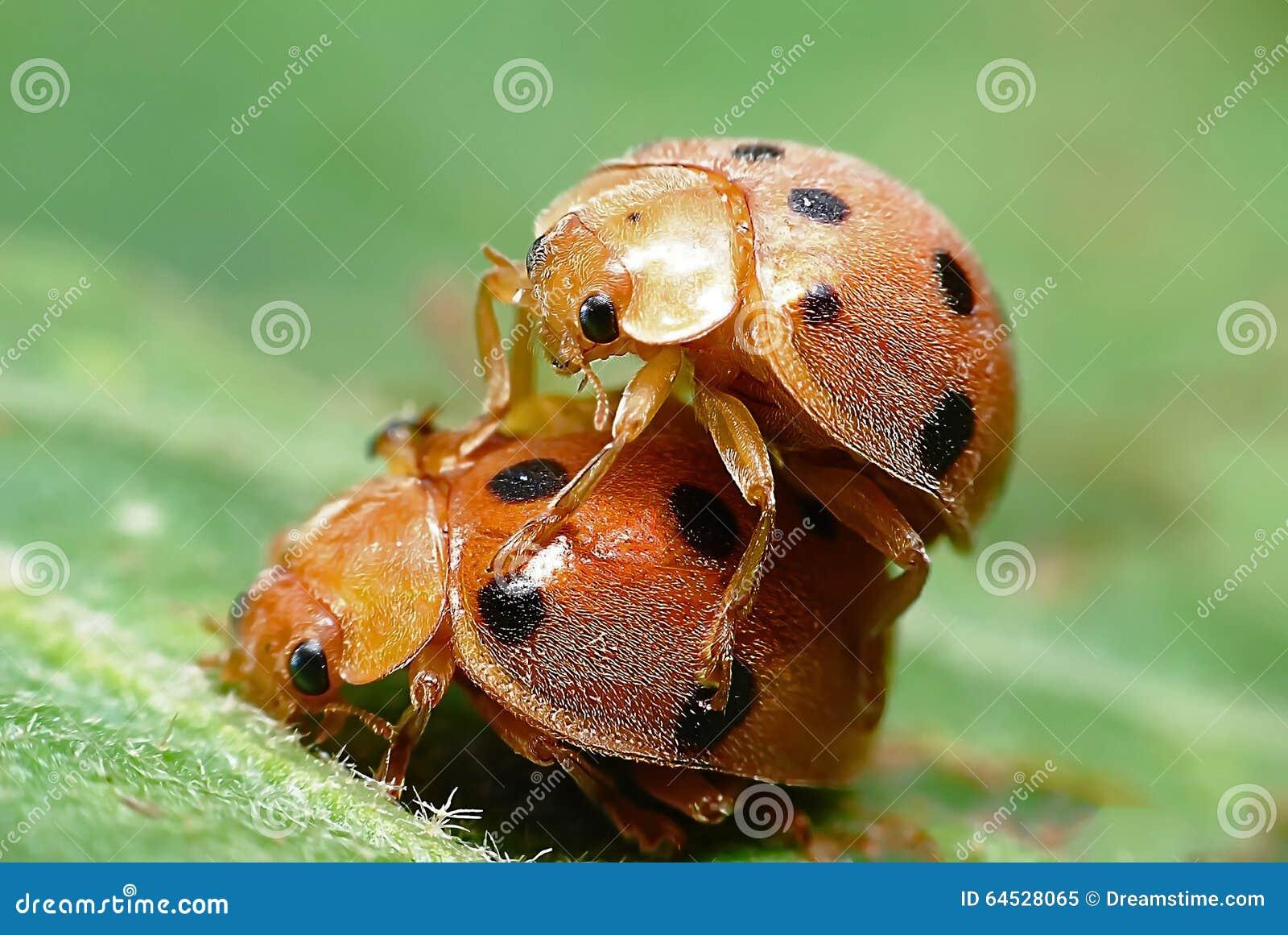 Insekten-Marienkäfer 2