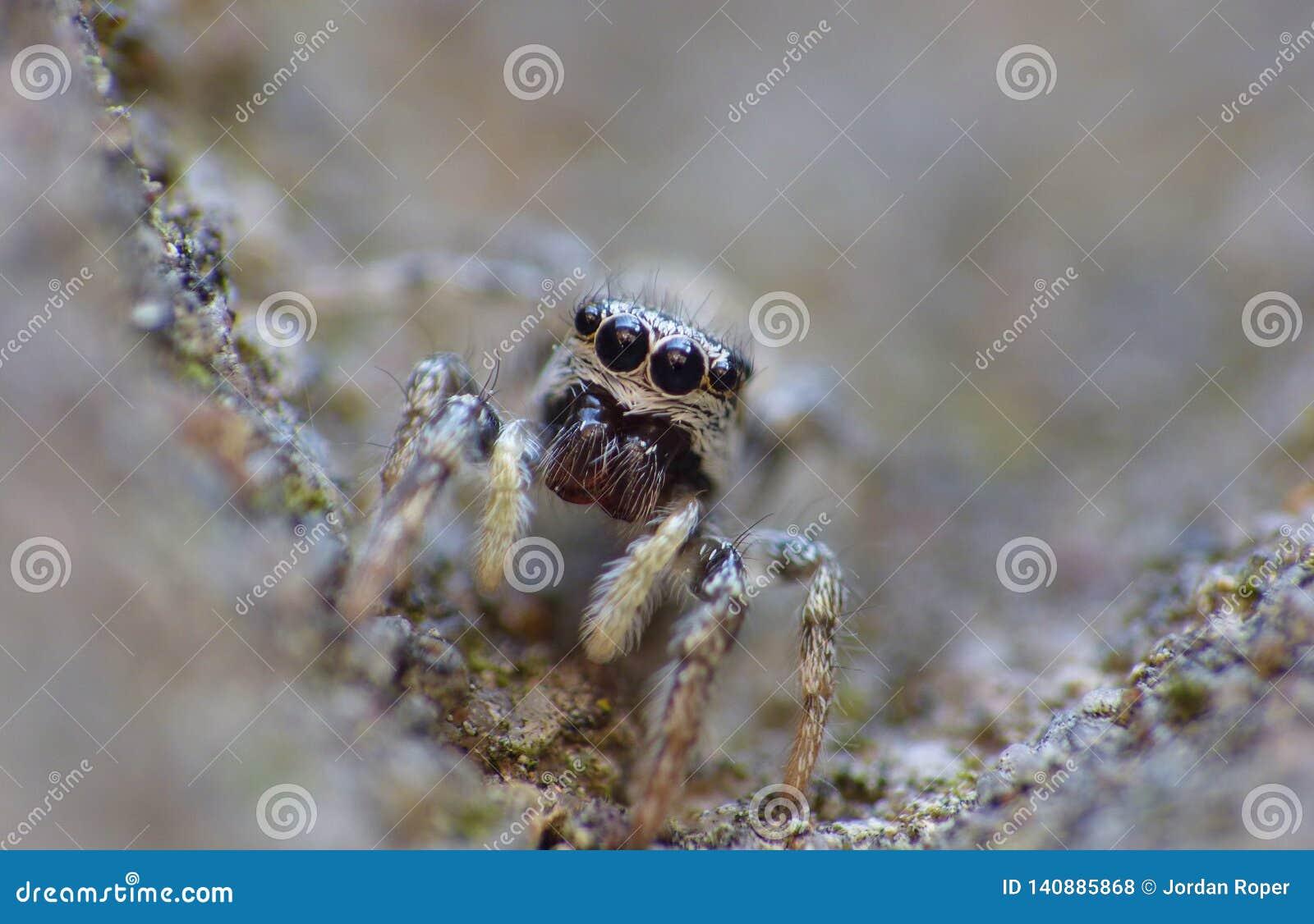 Insekten-springender Spinnen-Abschluss herauf Makro