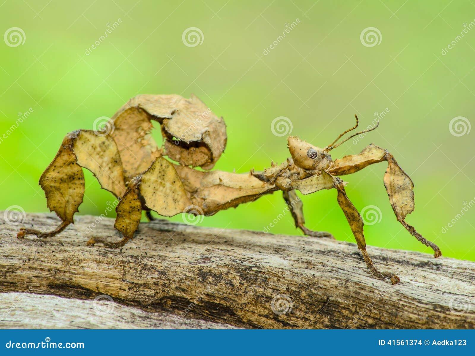 Inseto de folha espinhoso