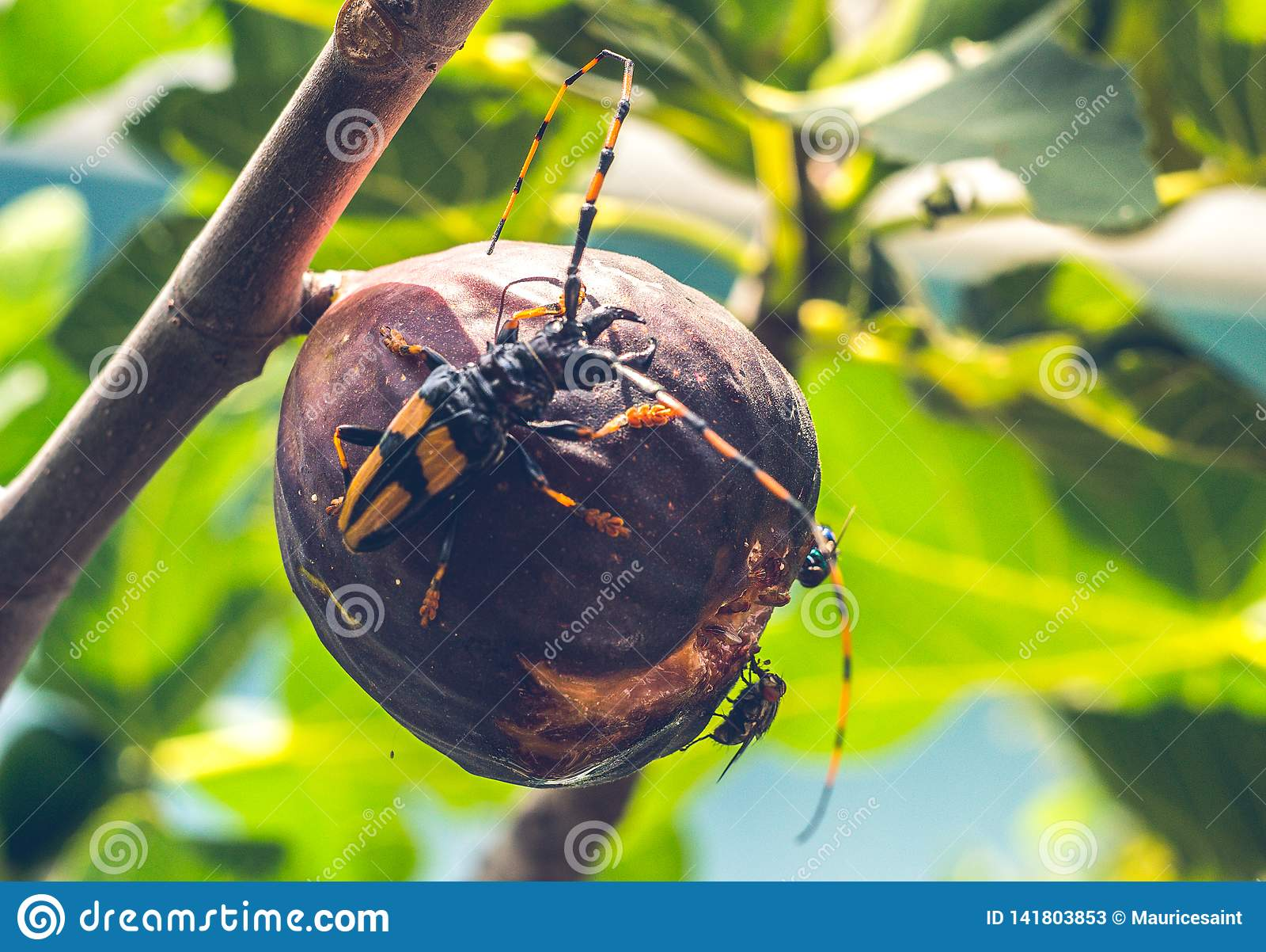 Insetti che mangiano fico su un albero