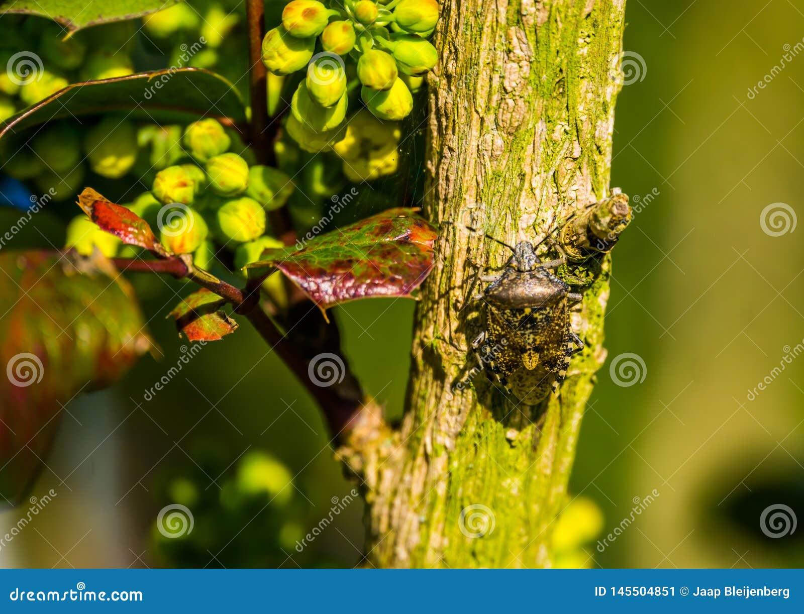 Insetto chiazzato che si siede su un ramo di albero, insetto comune dello schermo da Europa