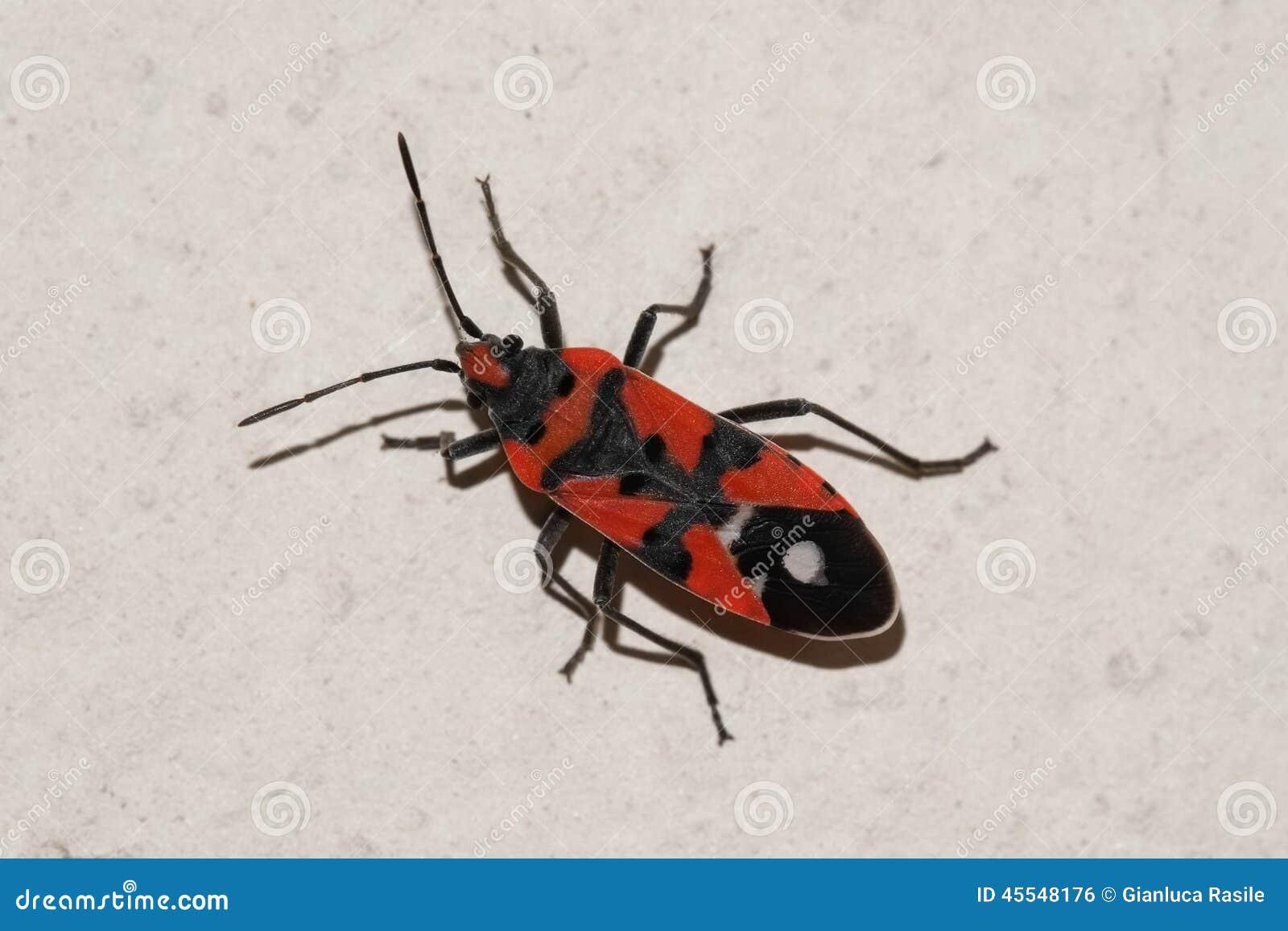 Insetto del nero e di rosso sulla parete fotografia stock for Insectos del jardin