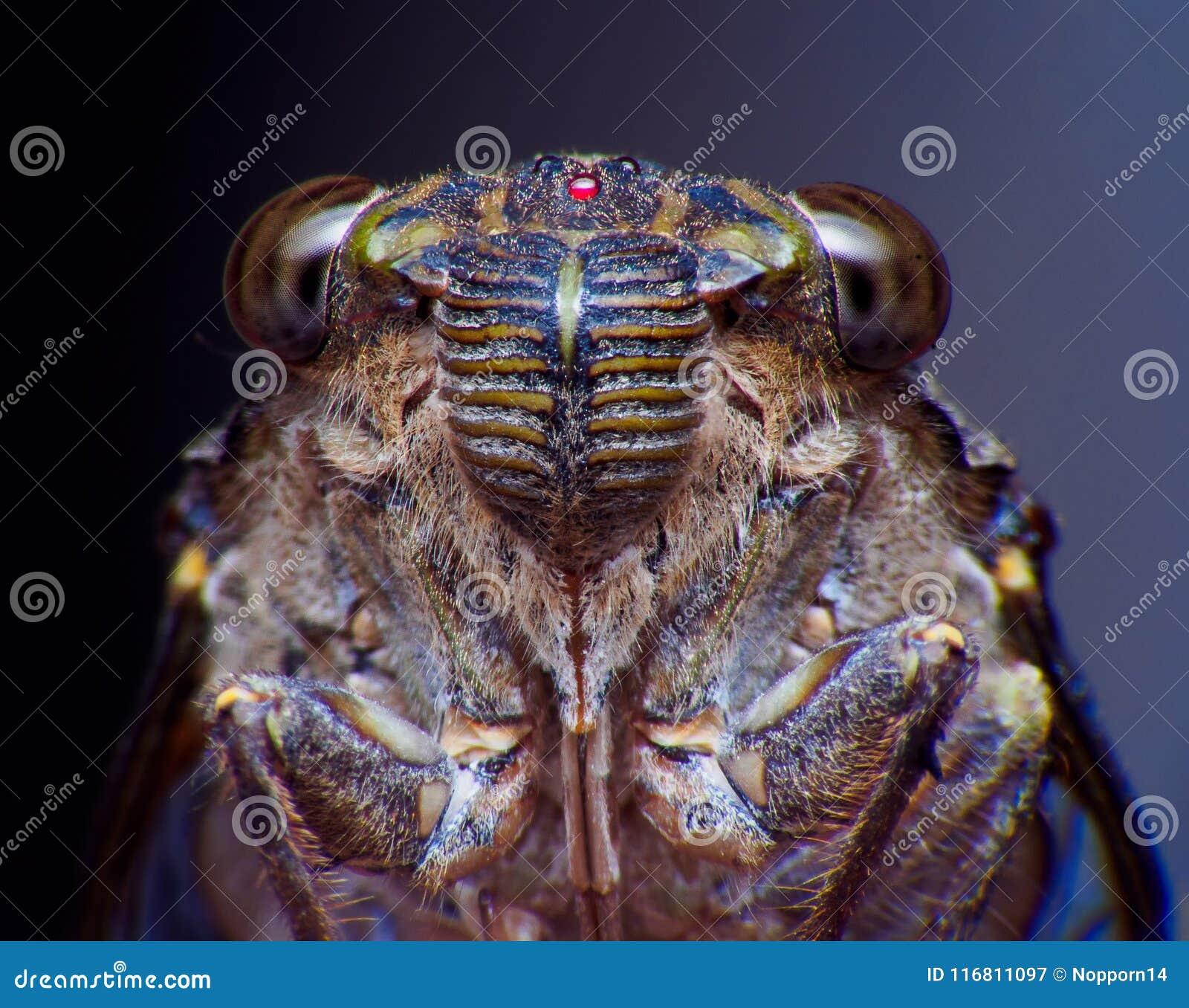 Insetto della cicala Insetto della cicala Estremo del bastone della cicala sull albero al parco delle abilità musicali tremende d