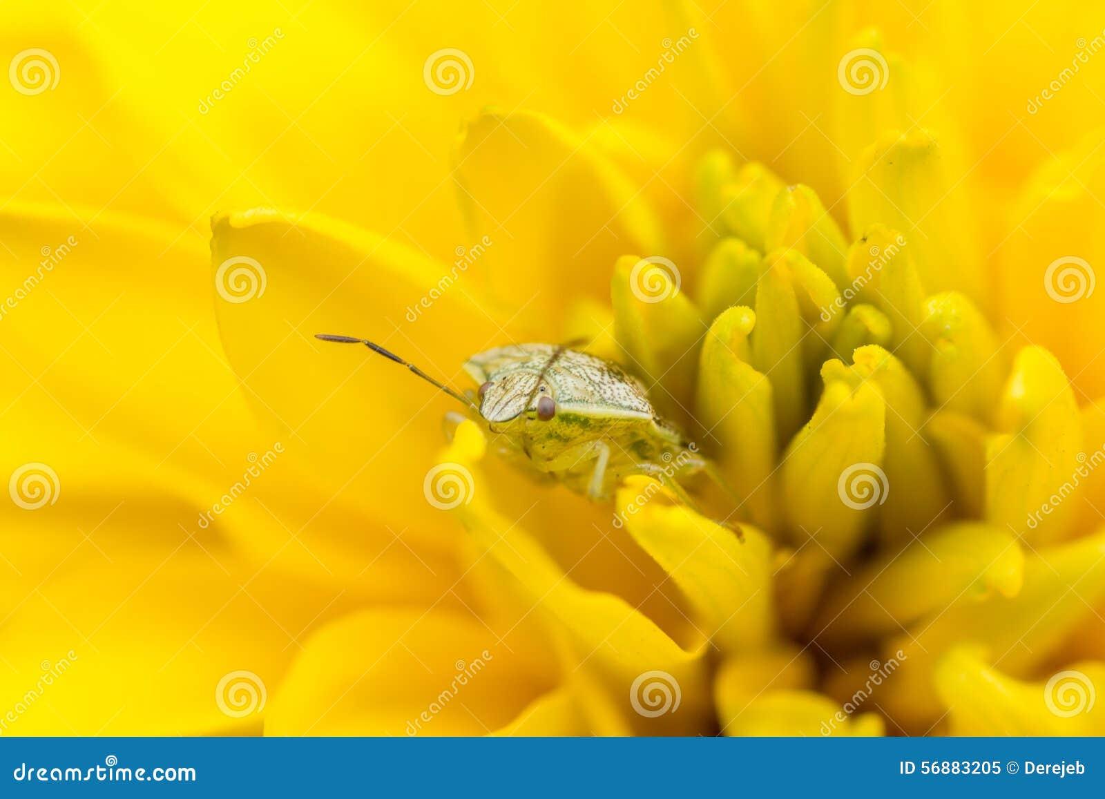 Insetto minuscolo su un fiore giallo