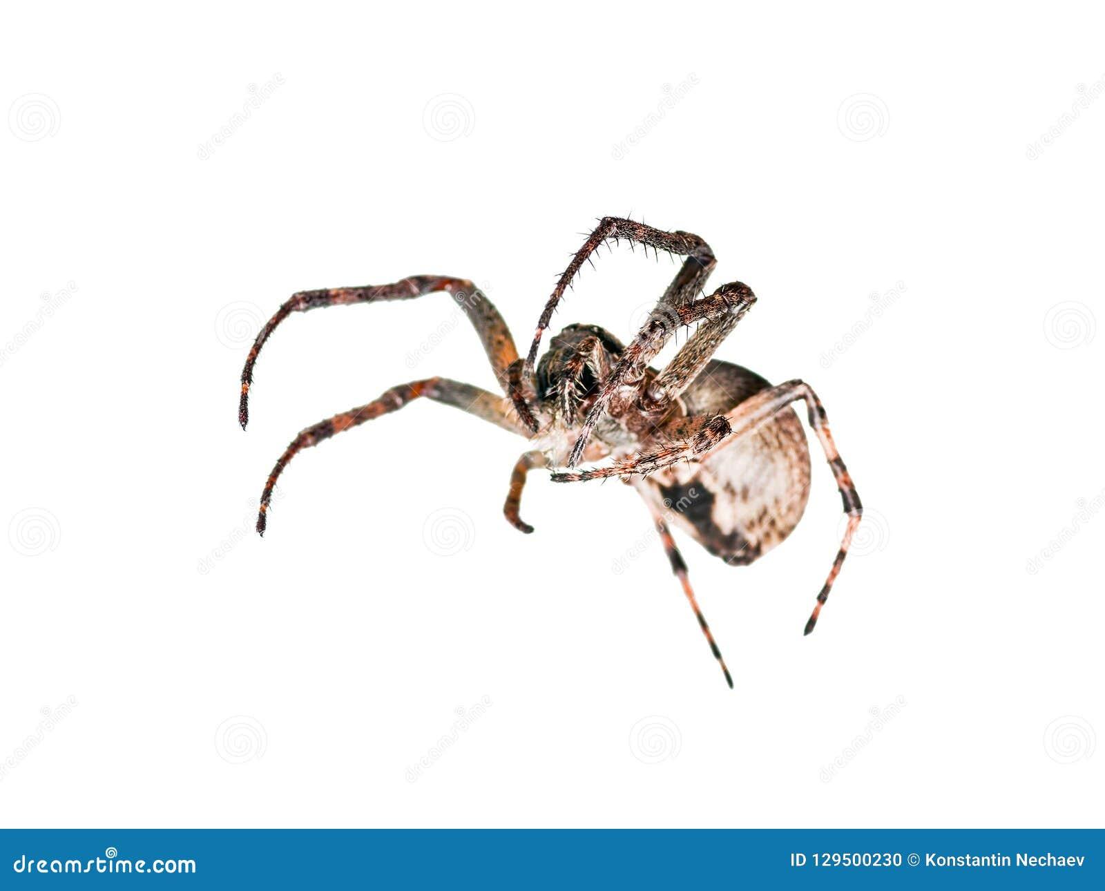 Insetto strisciante dell aracnide del ragno isolato su bianco