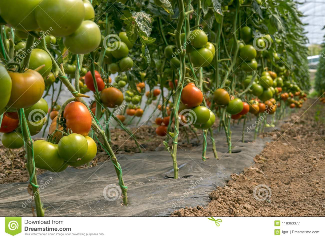 Red And Green Tomatoes On The Greenhouse Farm Stock Image