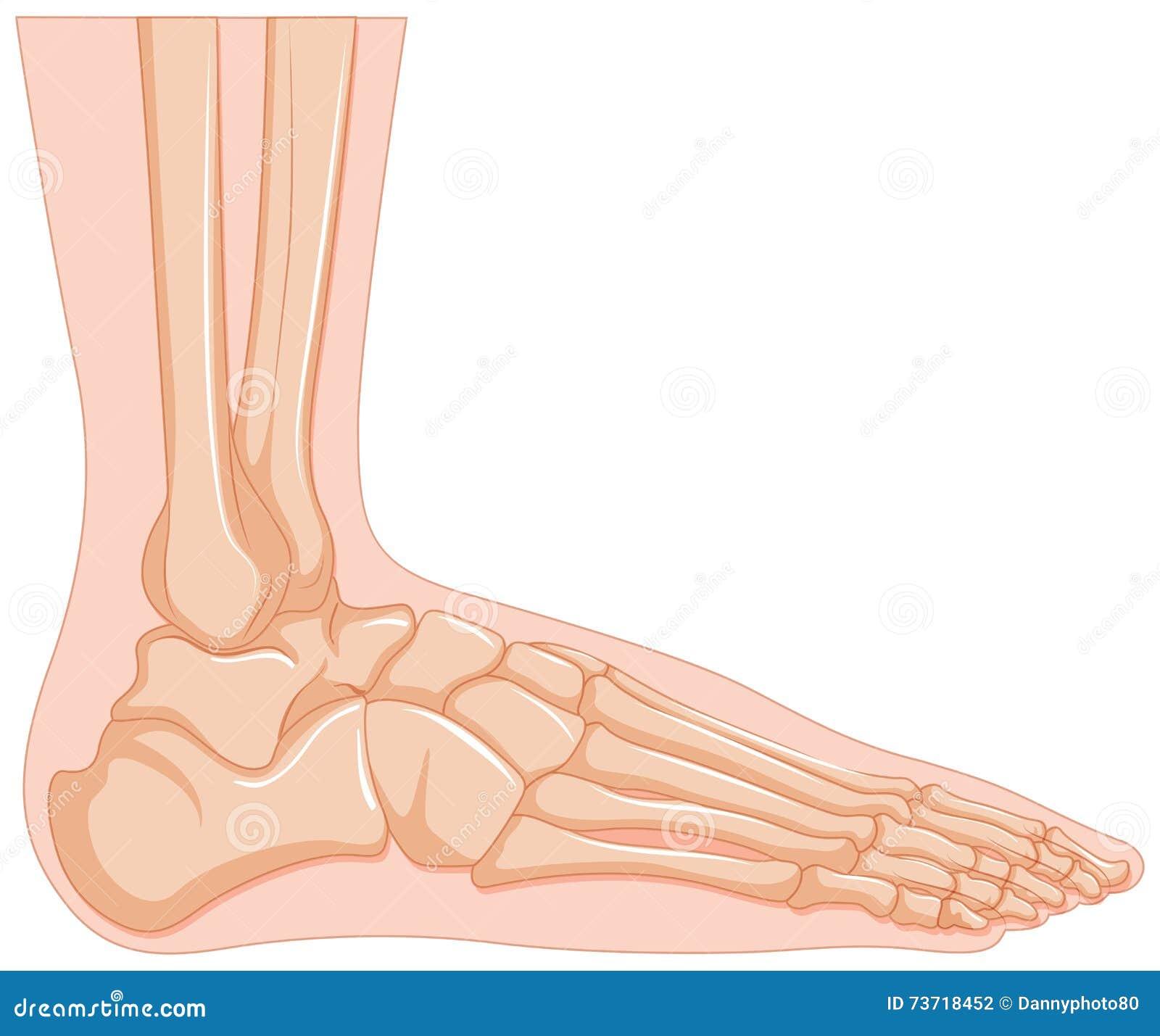 Inside of human foot bone stock vector. Illustration of sickness ...