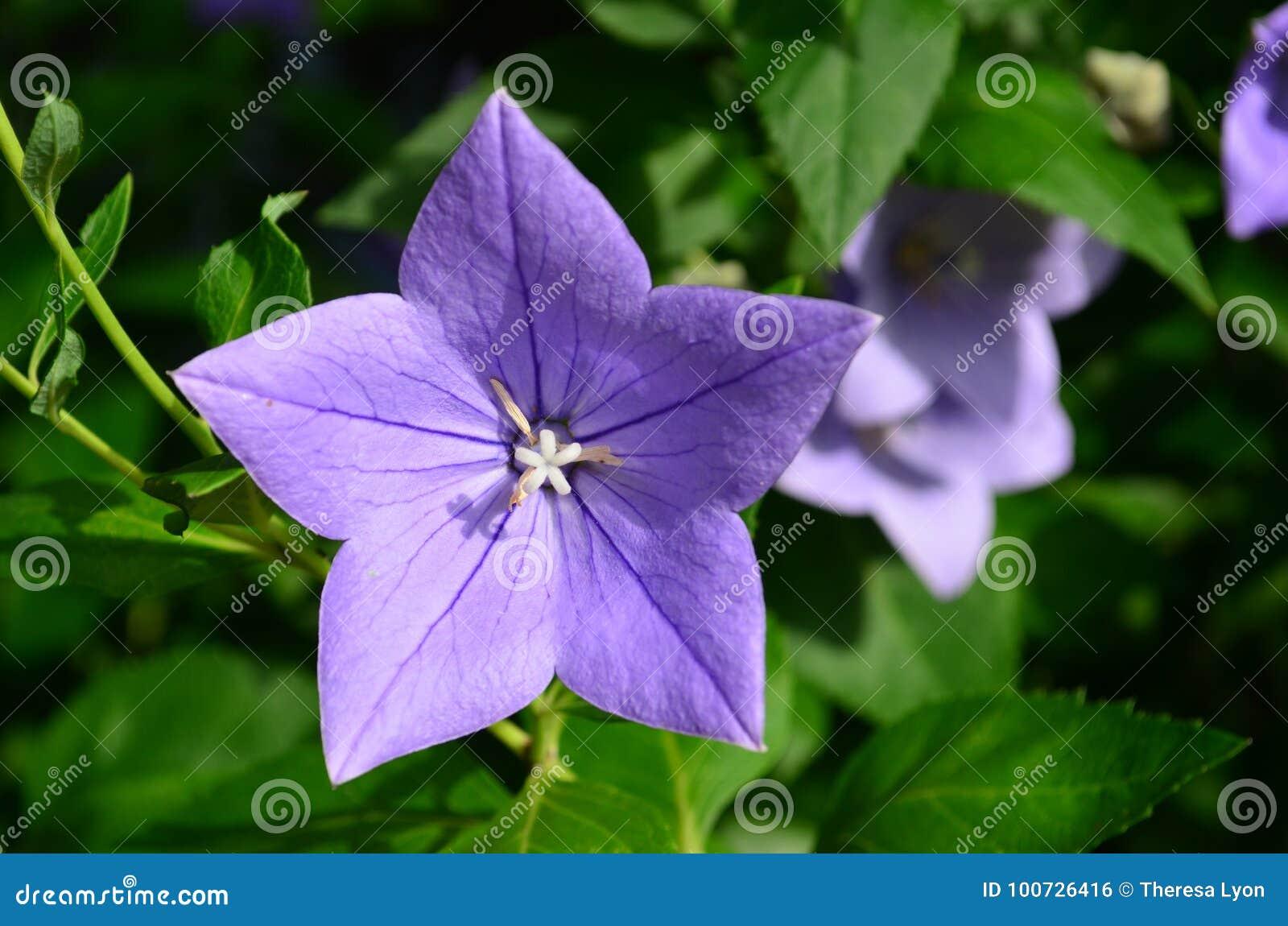 Star Shaped Open Purple Blue Balloon Flower Stock Photo Image Of