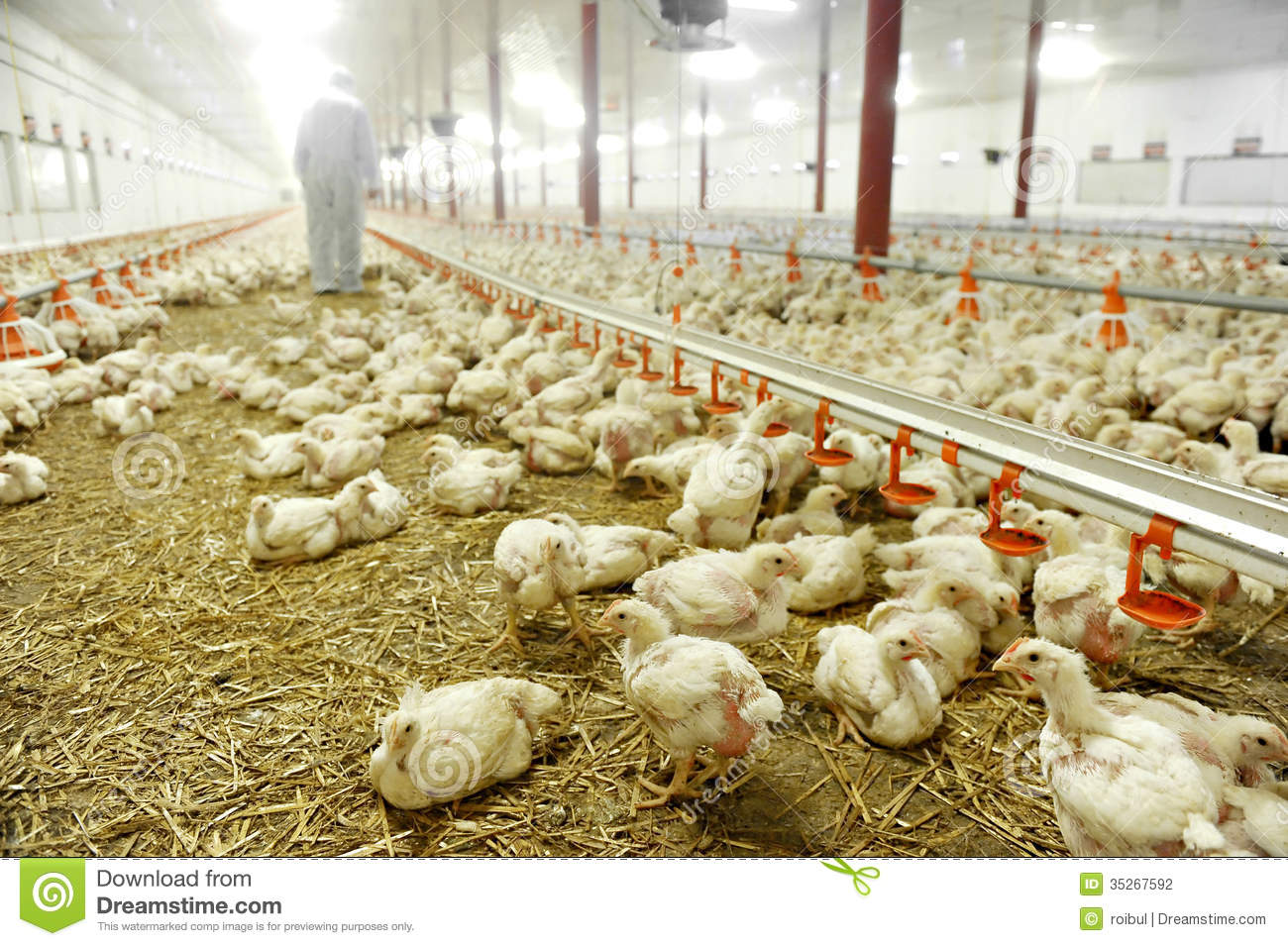 Inside poultry farm stock images download 936 royalty free photos