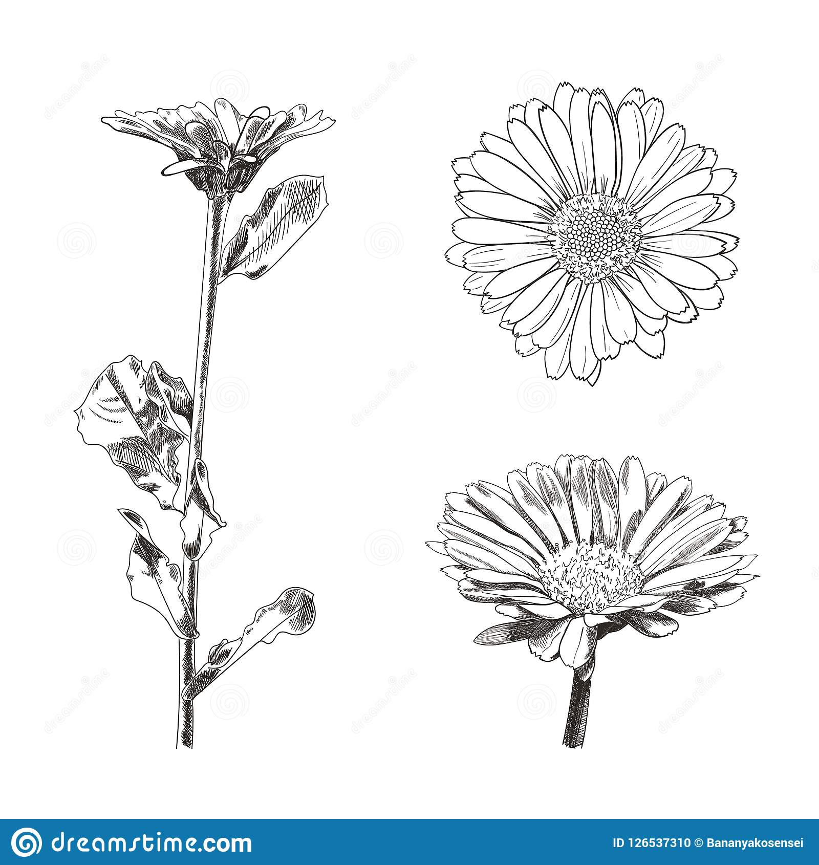 Insieme dei disegni dei fiori, schizzi botanici di vettore di stile isolati
