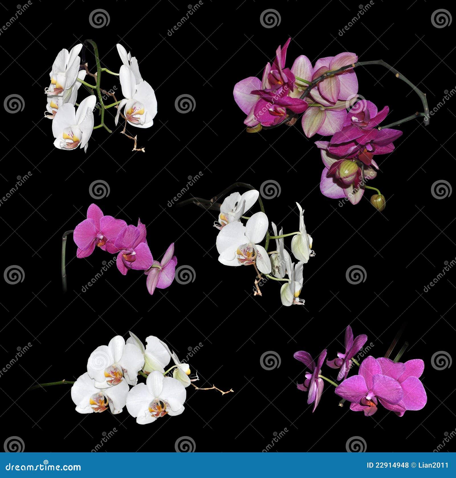 Fiori Bianchi E Viola.Insieme Dei Fiori Bianchi E Viola Delle Orchidee Fotografia Stock
