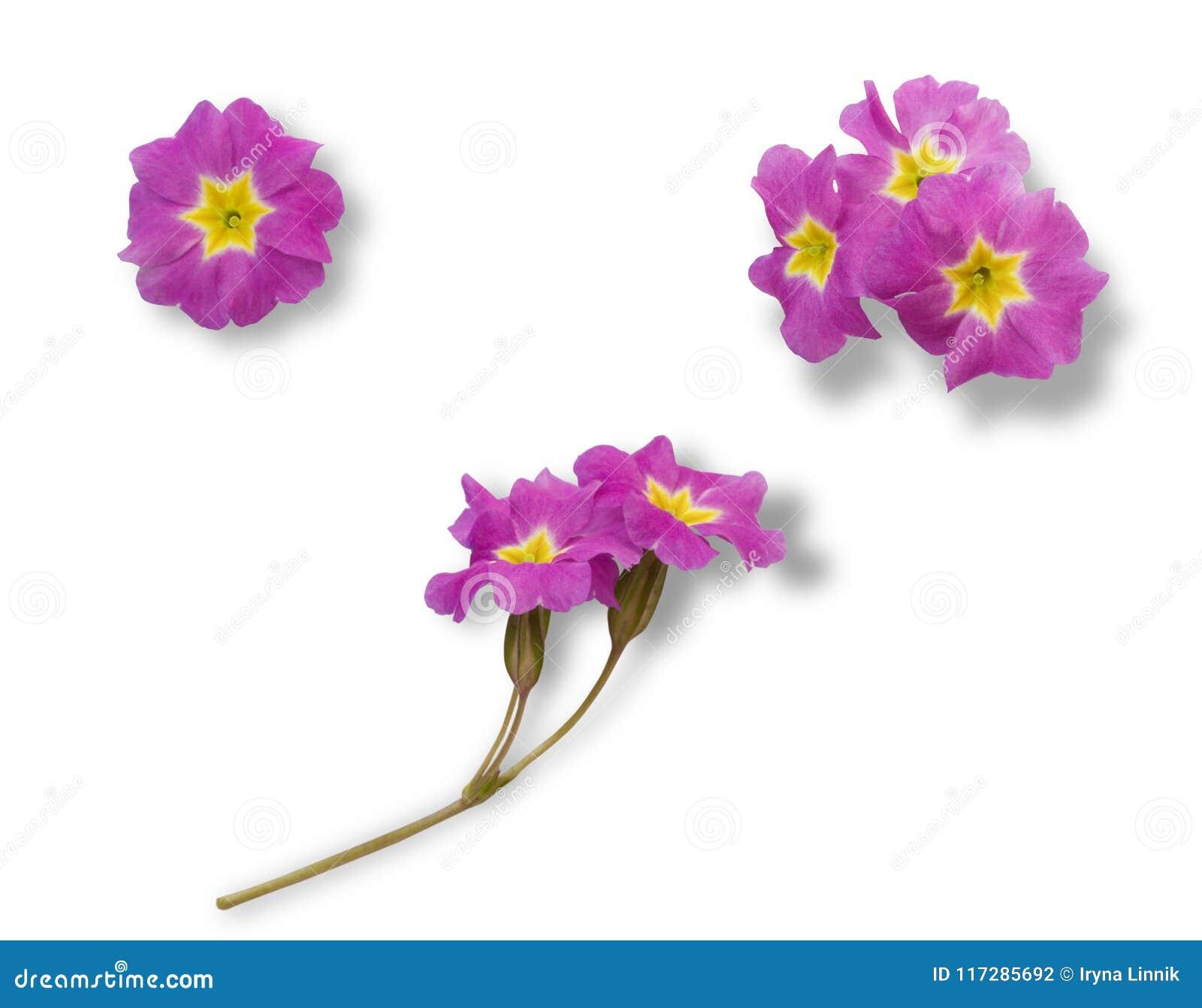 Insieme dei fiori rosa della primaverina isolati su fondo bianco per progettazione grafica