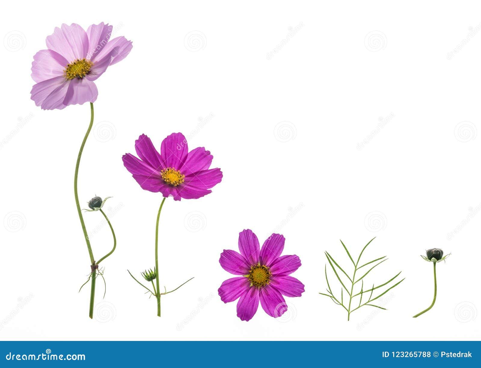Insieme dei fiori rosa e porpora dell universo isolati su fondo bianco