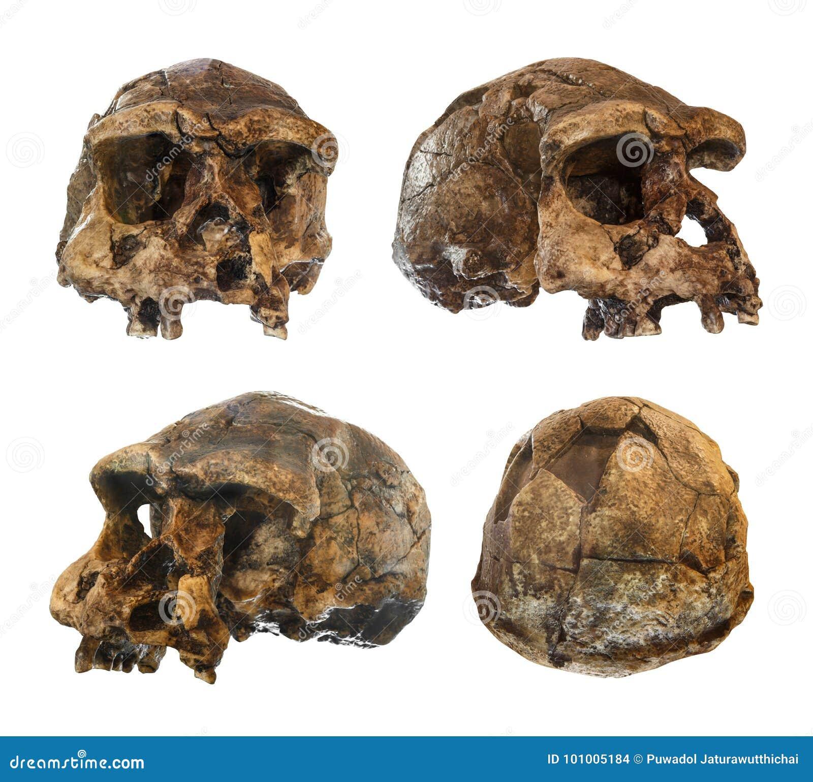 Insieme del cranio di homo erectus Scoperto nel 1969 in Sangiran, Java, Indonesia Datato a 1 milione anni fa front lato Ob