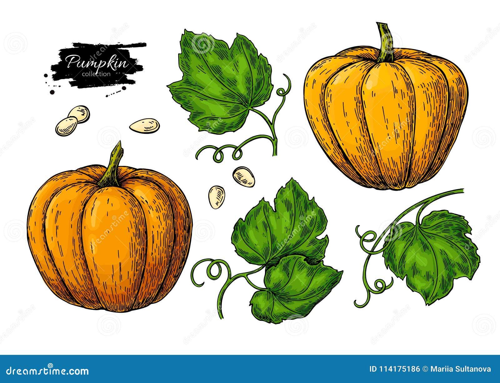 Insieme del disegno di vettore della zucca Oggetto disegnato a mano isolato con il pezzo e le foglie affettati