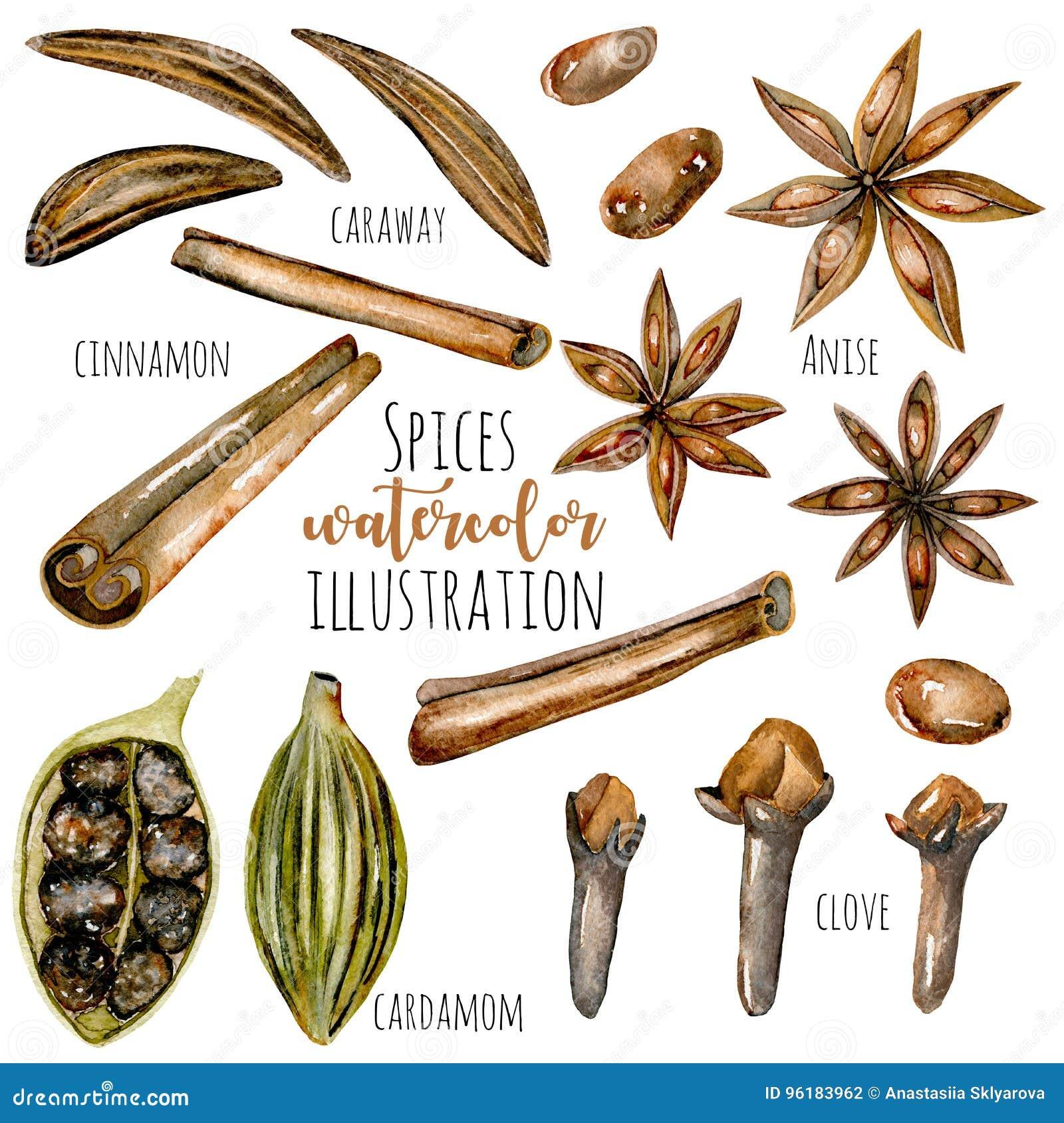 Insieme delle spezie dell acquerello & di x28; cannella, anice, cumino, cardamomo e cloves& x29;