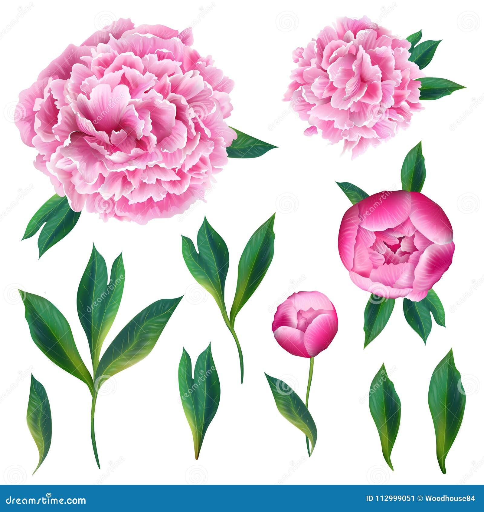 Insieme di elementi floreale con i fiori, le foglie ed i germogli di fioritura della peonia di rosa Flora botanica disegnata a ma