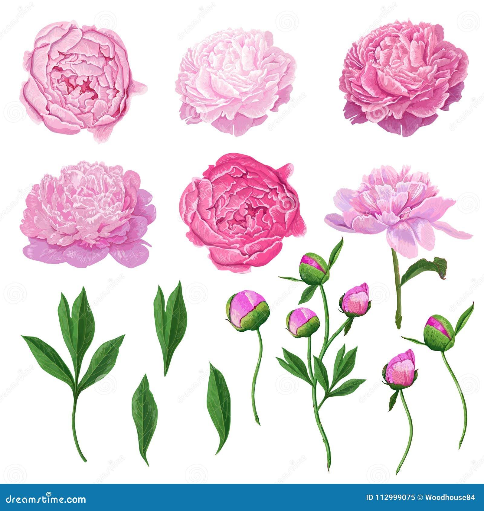 Insieme di elementi floreale con i fiori, le foglie ed i germogli rosa della peonia Flora botanica disegnata a mano per la decora