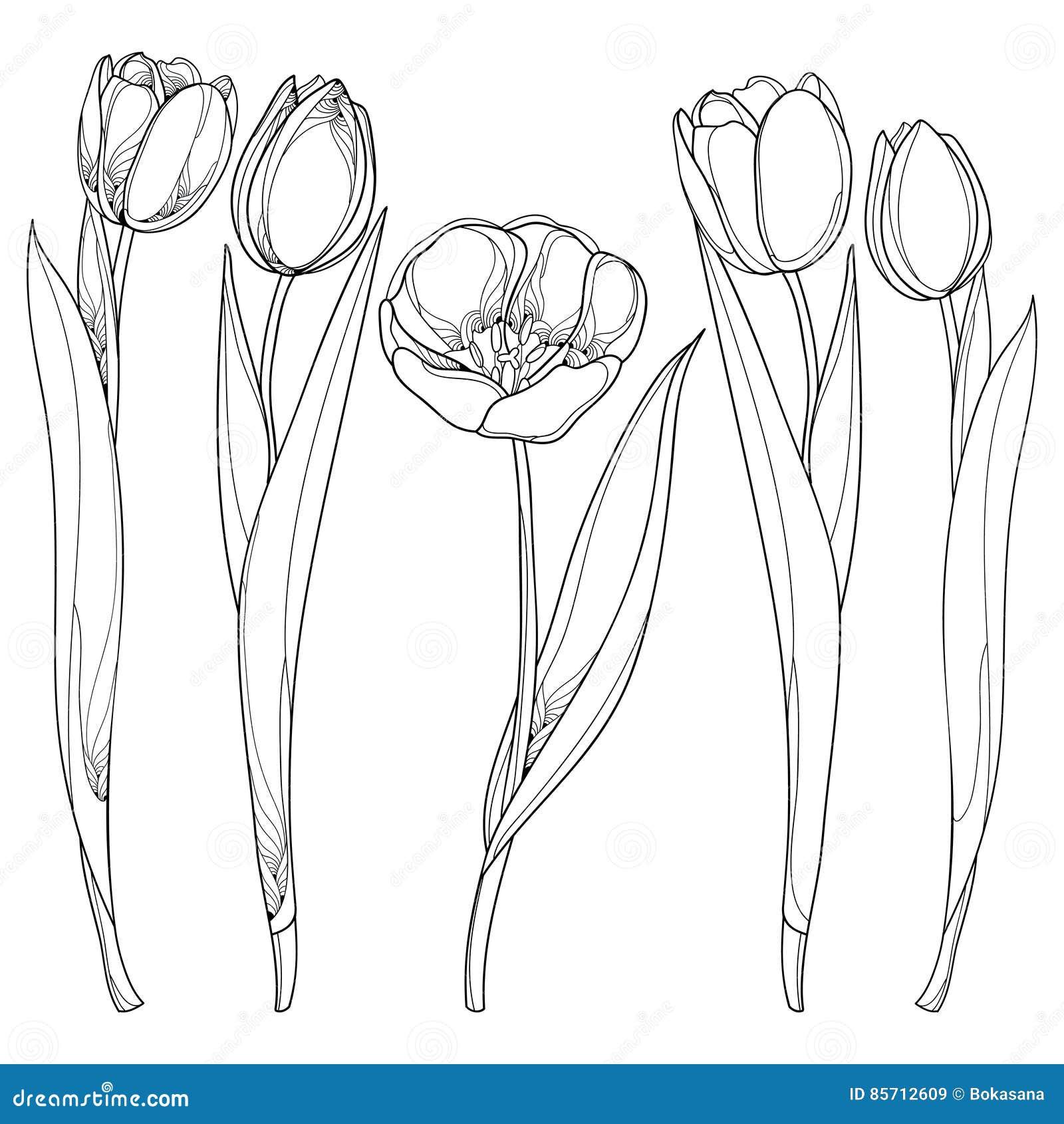 Insieme Di Vettore Con I Fiori Dei Tulipani Del Profilo Isolati Su