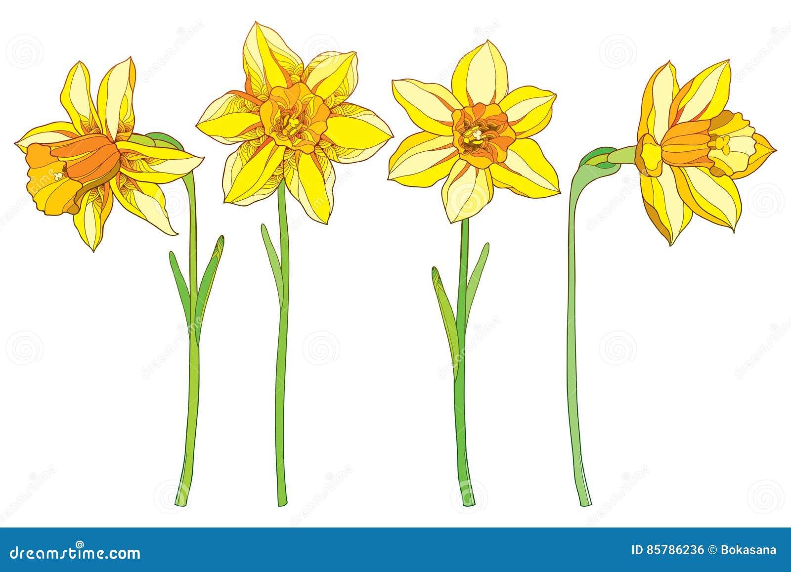 Insieme di vettore con il narciso di giallo del profilo o for Narciso giallo
