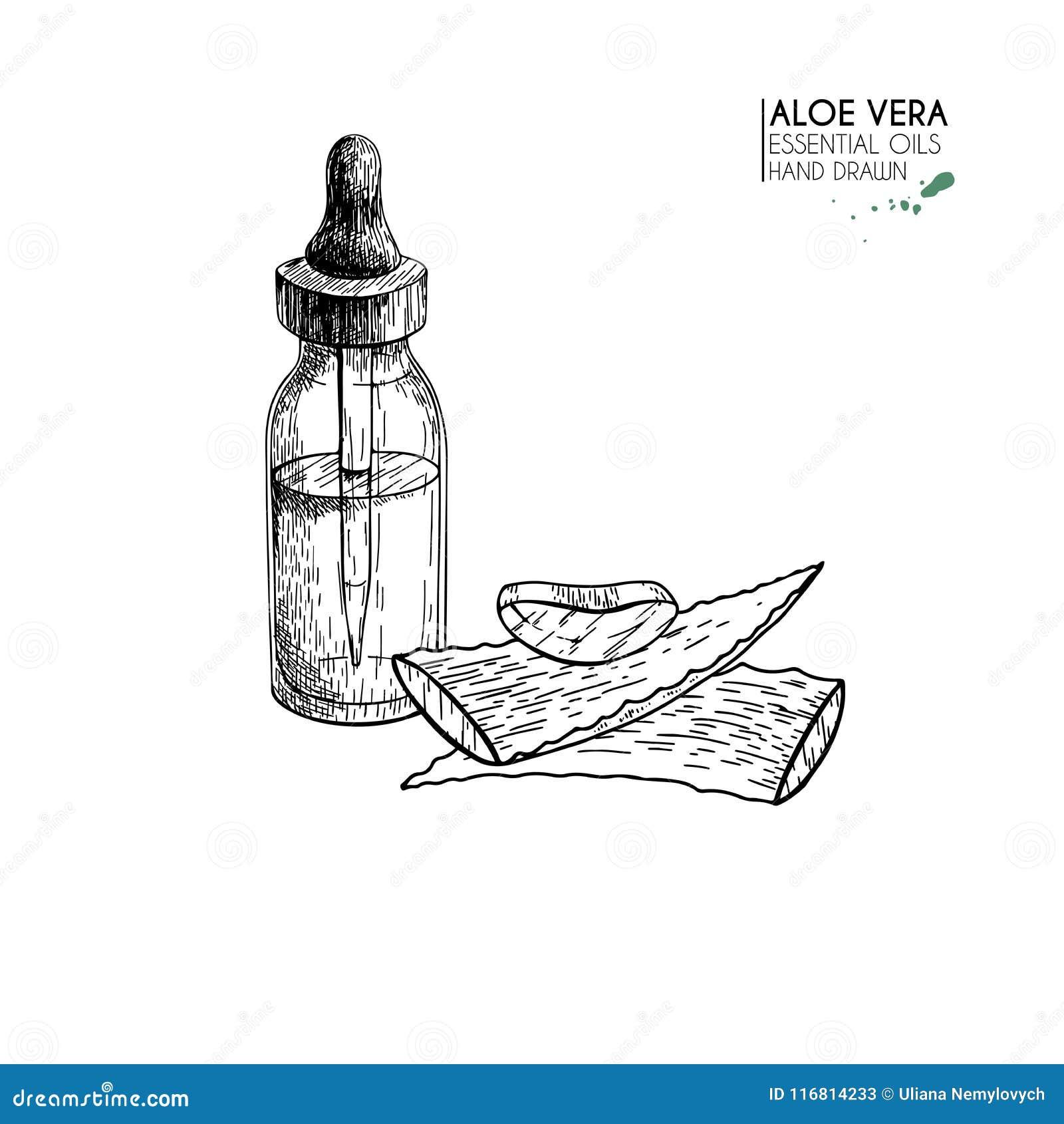 Insieme disegnato a mano degli oli essenziali Siero di vera del eloe di vettore Erba medicinale con la bottiglia di vetro del con