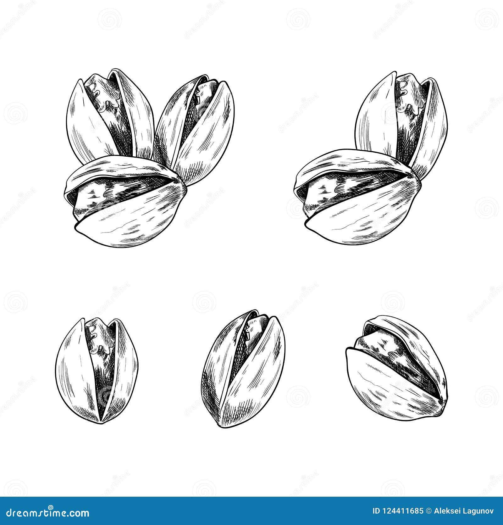 Insieme disegnato a mano dei pistacchi di vettore, raccolta di schizzi, isolata sui dadi bianchi del fondo