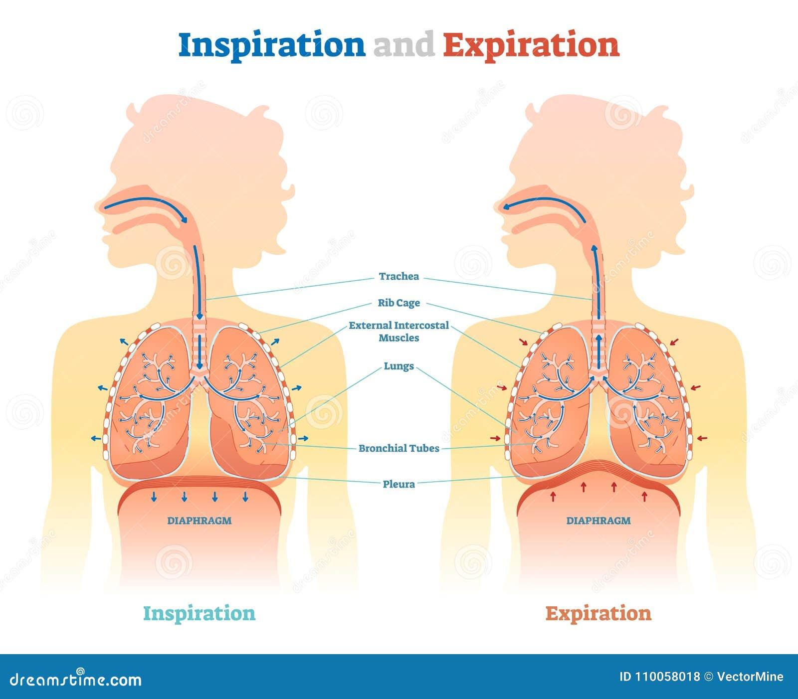 Inspiraci i ekspiraci anatomiczny wektorowy ilustracyjny diagram, edukacyjny medyczny plan