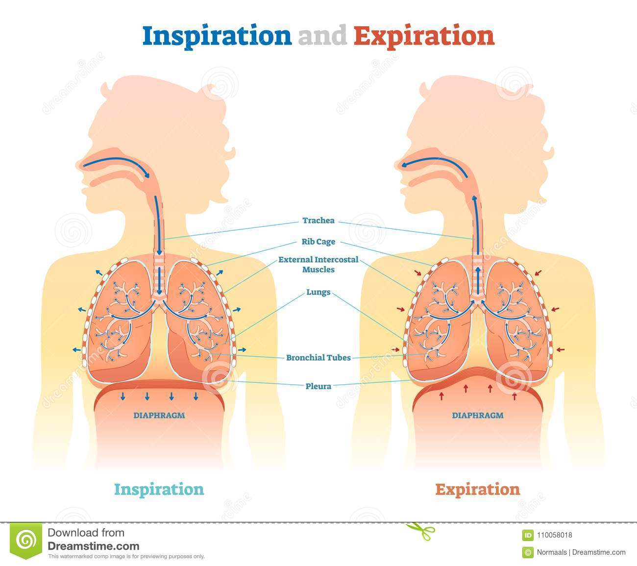 inspiration and expiration anatomical vector illustration diagram,  educational medical scheme with lungs, diaphragm, rib cage and trachea