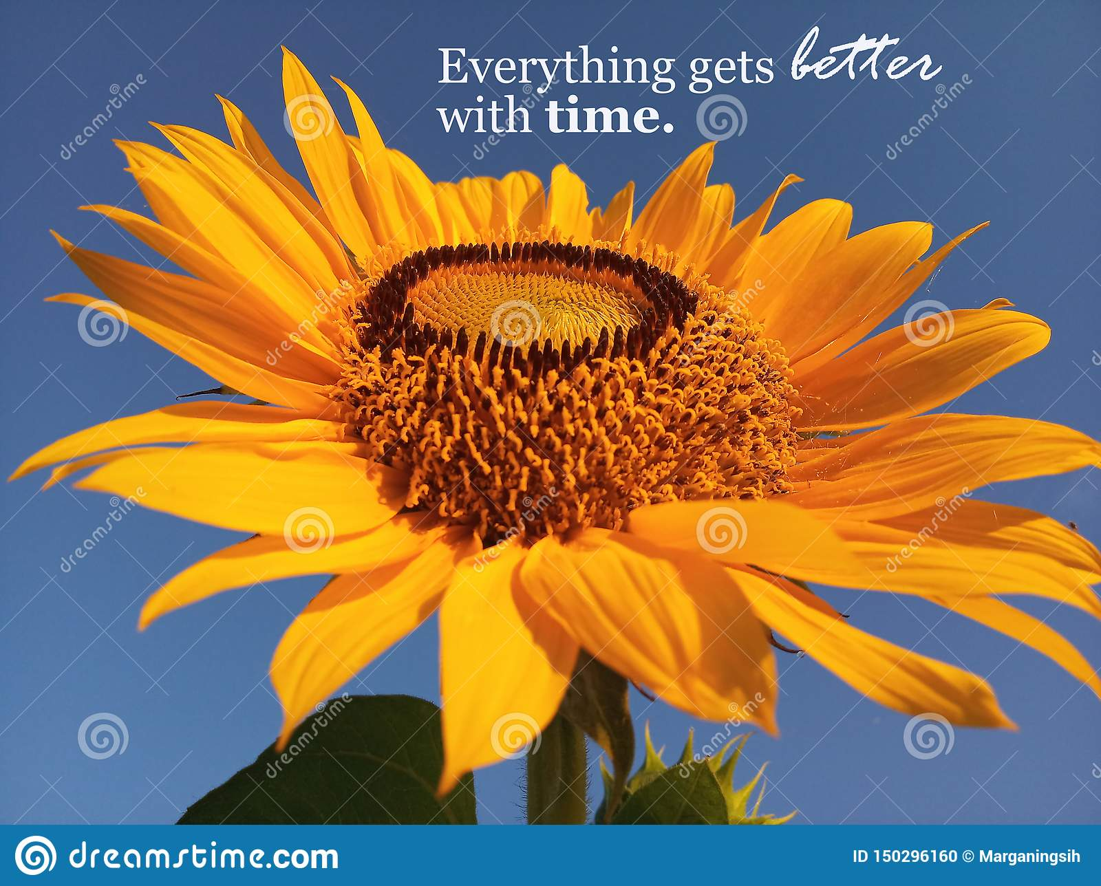 Inspirational Quote Everything Gets Better With Time With Beautiful Smiling Sunflower Blossom Closeup Blue Sky Background Stock Photo Image Of Week Sunflower 150296160