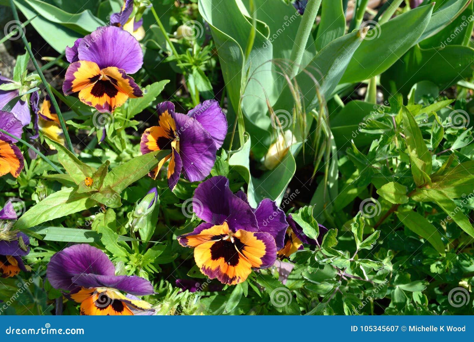 Inspire Purple and Orange Pansy