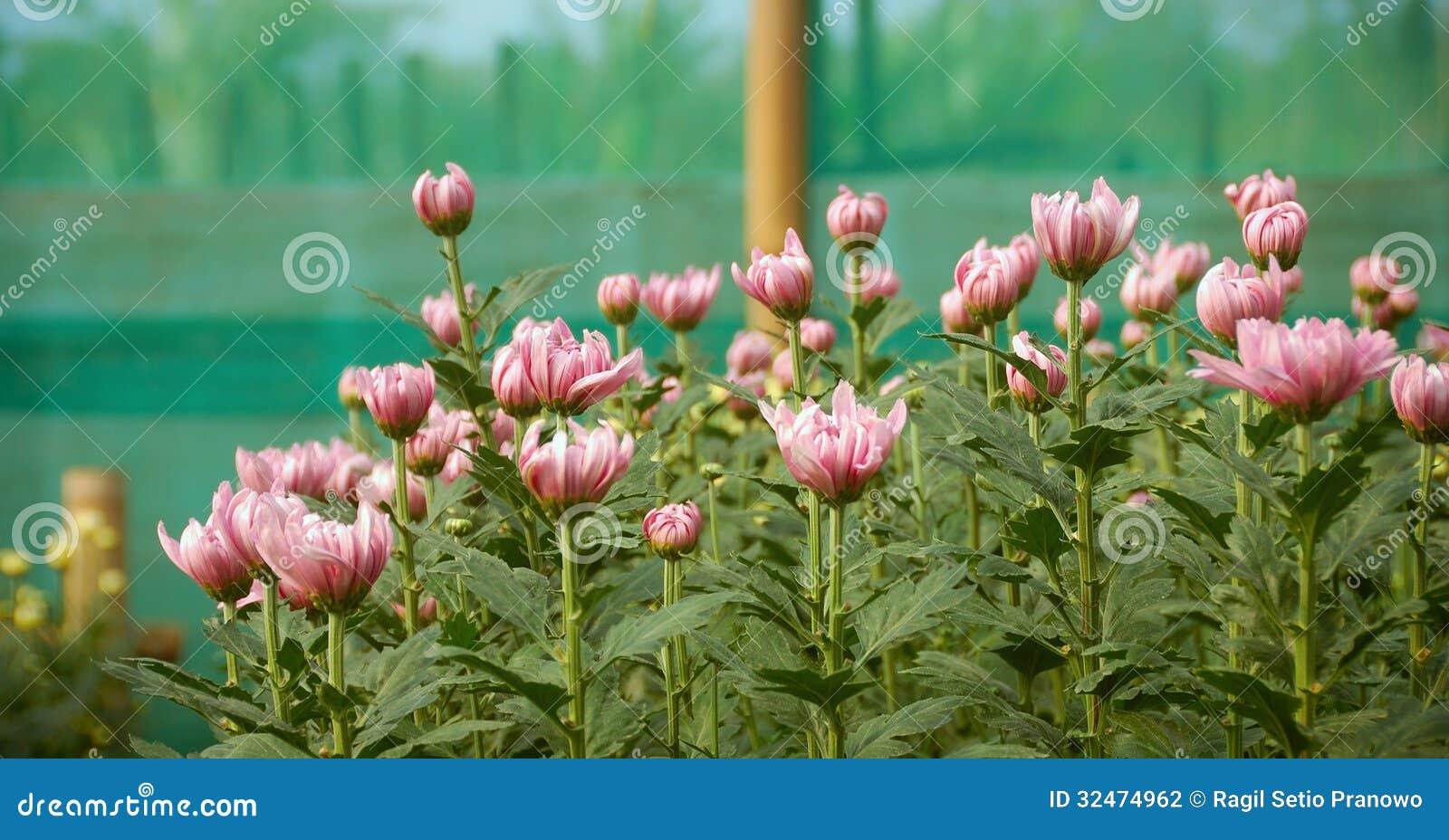 Installatie van de bloesem de kleurrijke Chrysant binnen greenh