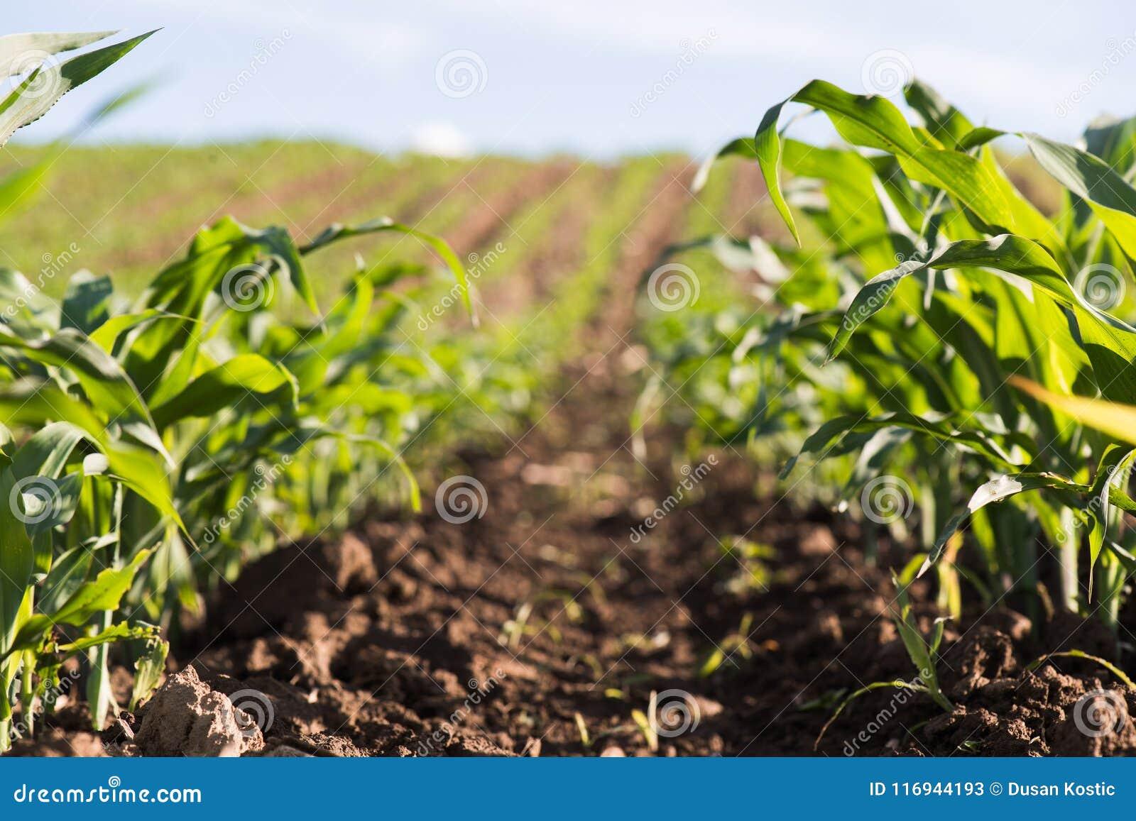 Installatie van jonge zoete maïs