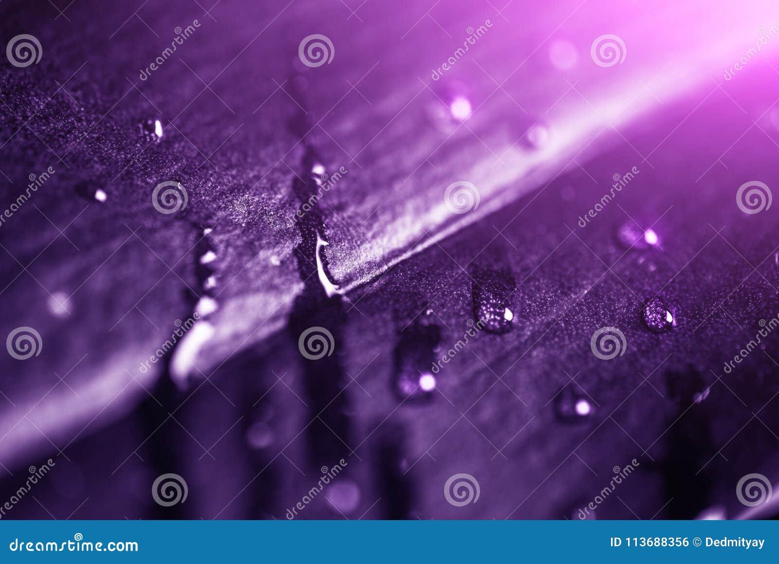 Installatieblad met waterdalingen en licht, macroschot Ultraviolet of purpere die kleur als abstracte achtergrond voor ontwerp wo