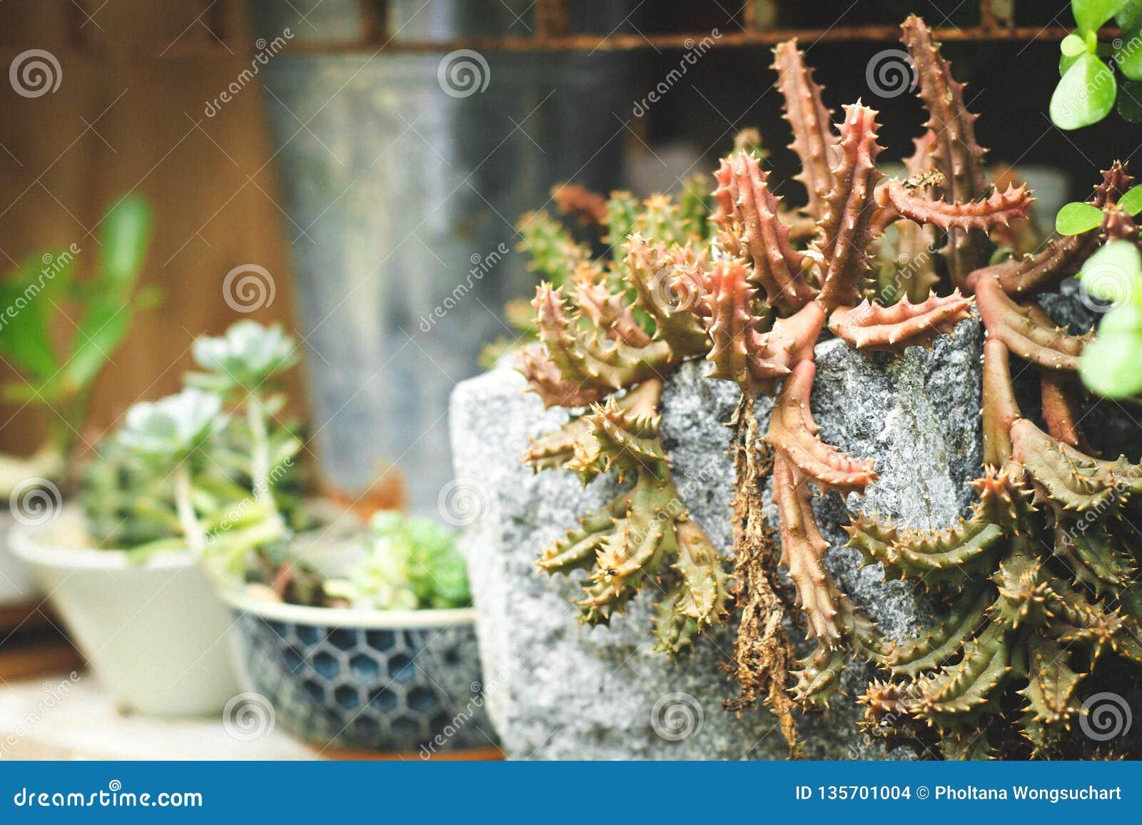 Installatiepotten van cement worden gemaakt die een kleurrijke cactusboom planten die