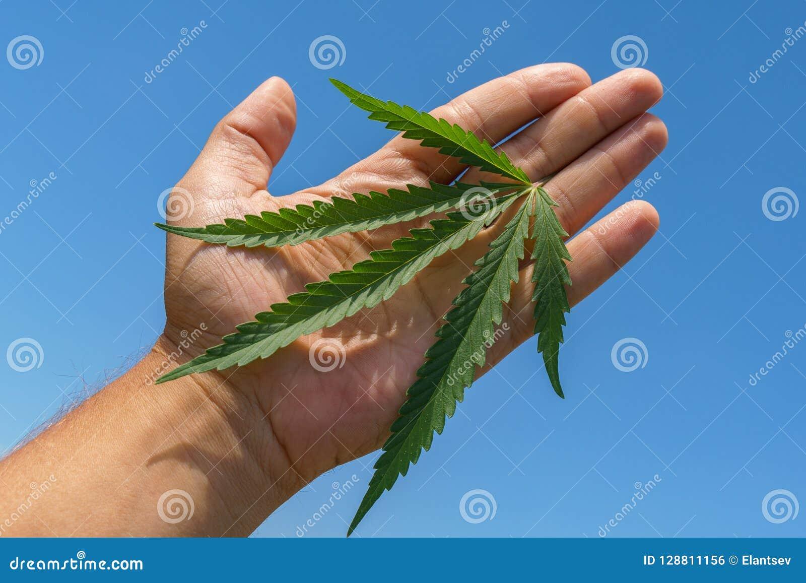 Installaties van weiden en gebieden - hennep, cannabis, marihuana