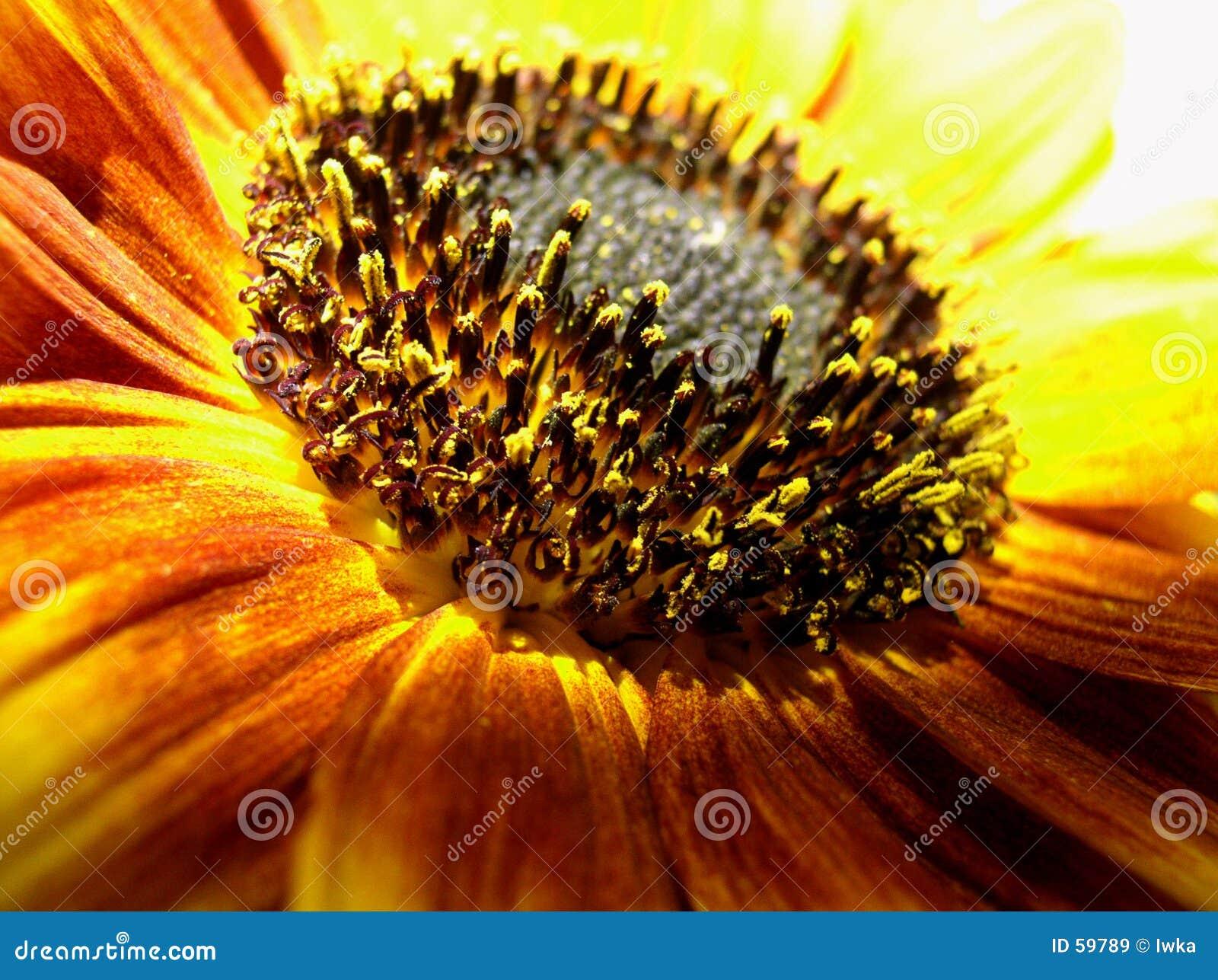 Download Instruction-macro De Tournesol Image stock - Image du fleuriste, flore: 59789