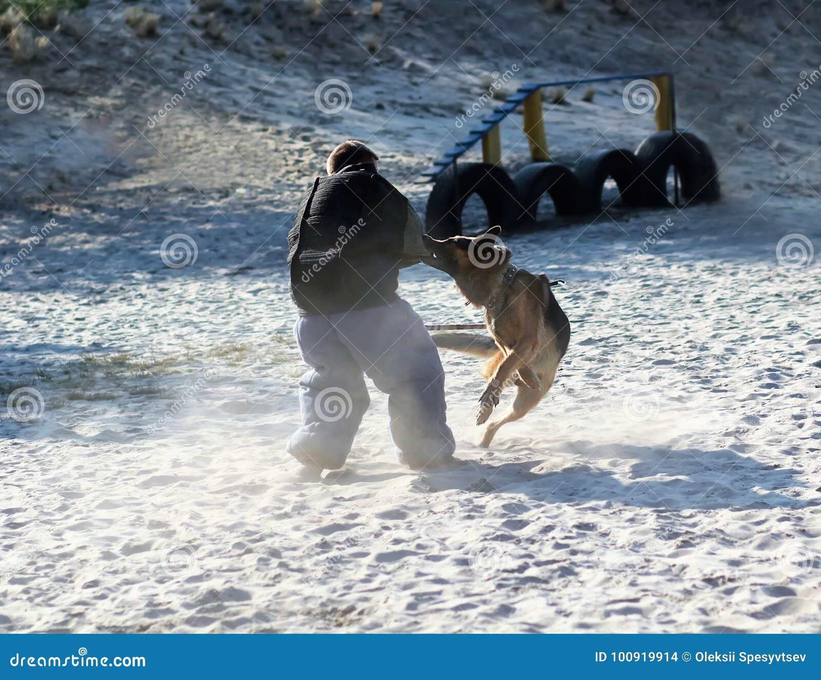 Instrutor de cão no terno da mordida k9 na ação Classe de treinamento no campo de jogos para um cão-pastor alemão Ataque do ` s d