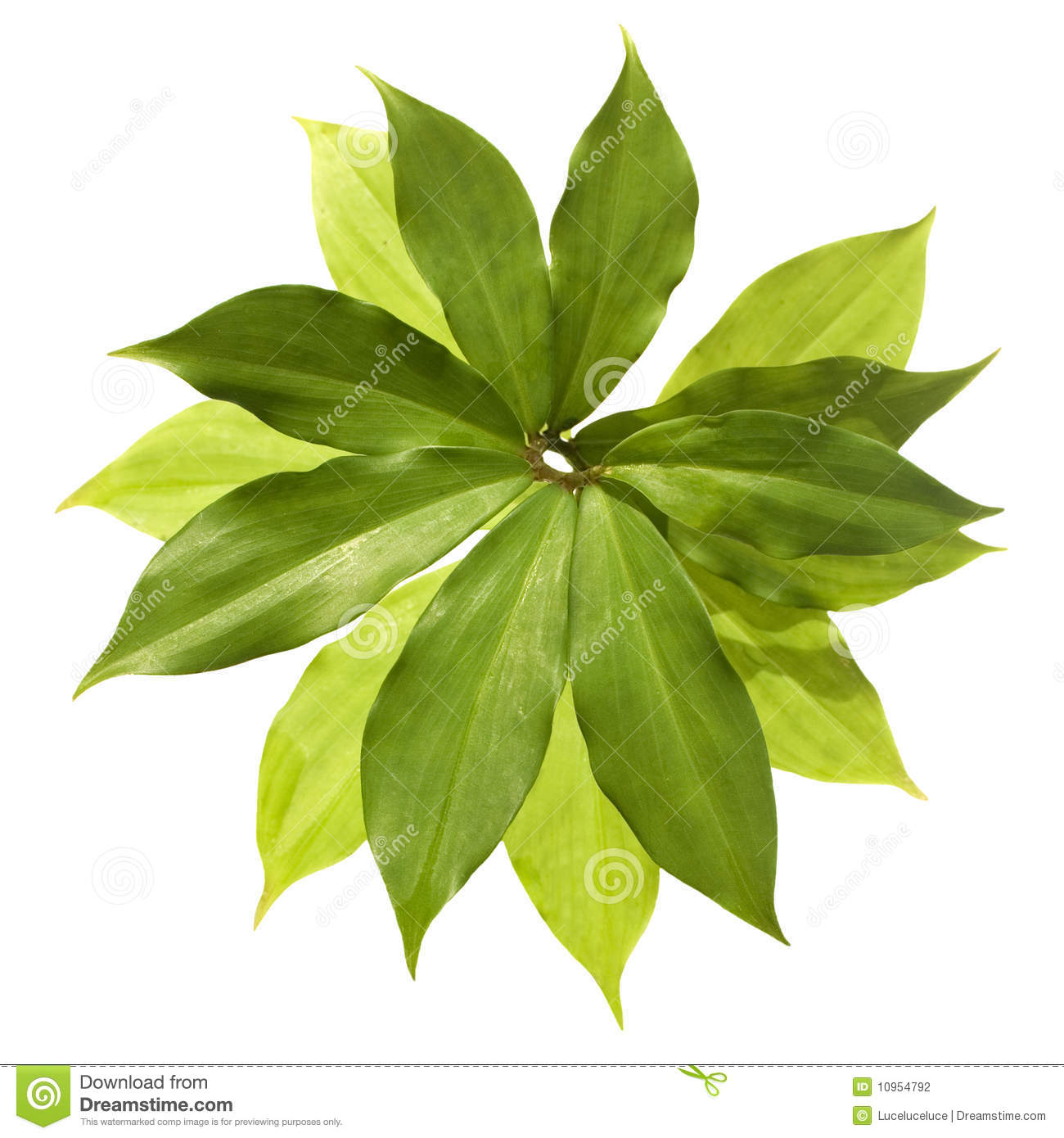 Insulin Plant For Diabetes Isolated Stock Photography