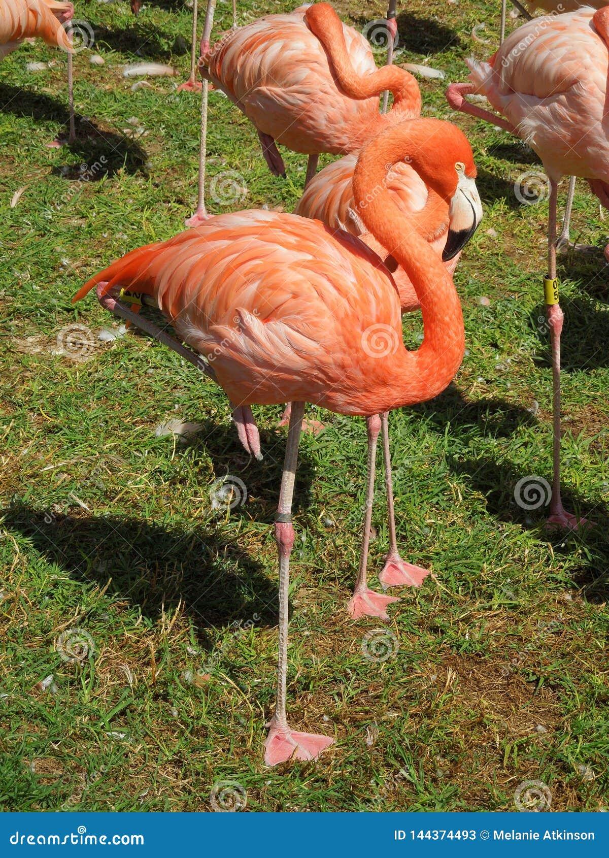 Integrale del fenicottero rosa luminoso