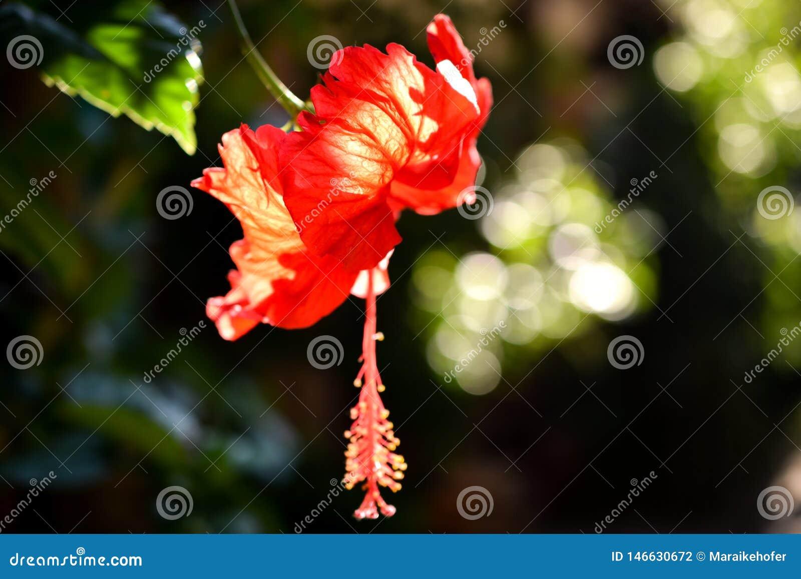 Intense rode hibiscusbloesem met bokeh in zonlicht