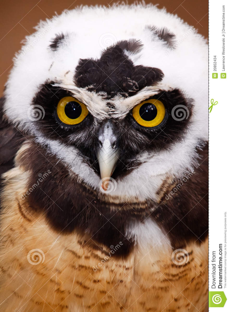 Intense Stare Of A Spectacled Owl Stock Photo Image Of