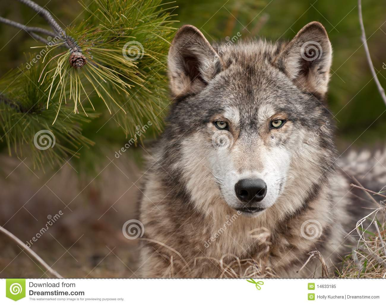 intense timber wolf  canis lupus  sits under pine royalty vulture clip art on food vulture clipart black and white