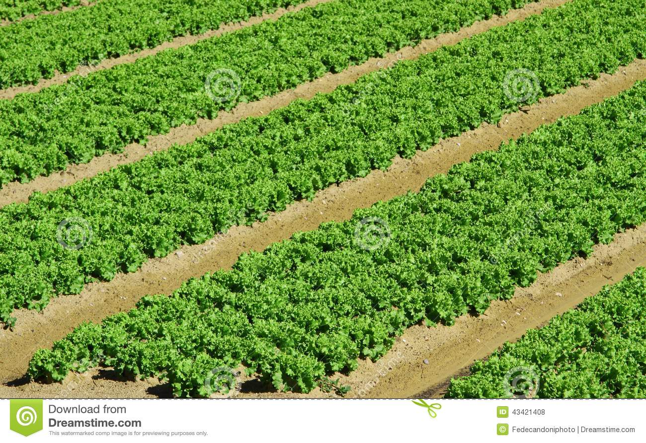 Intensive Cultivation Of Salad In Agricultural Area 8 Stock Photo