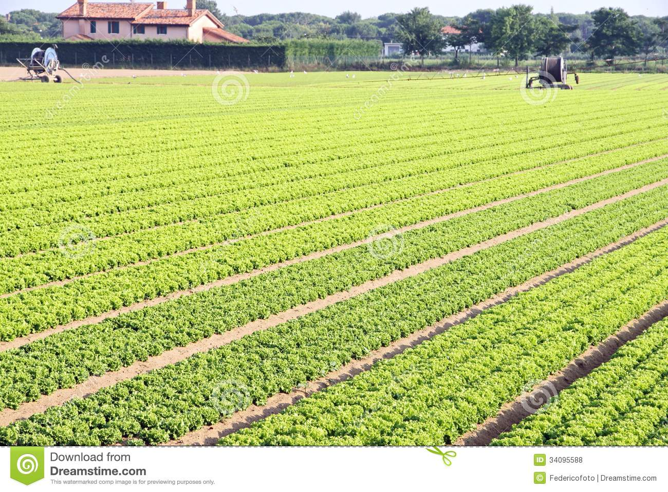 Intensive Cultivation Of Salad Stock Photo - Image of healthy, food