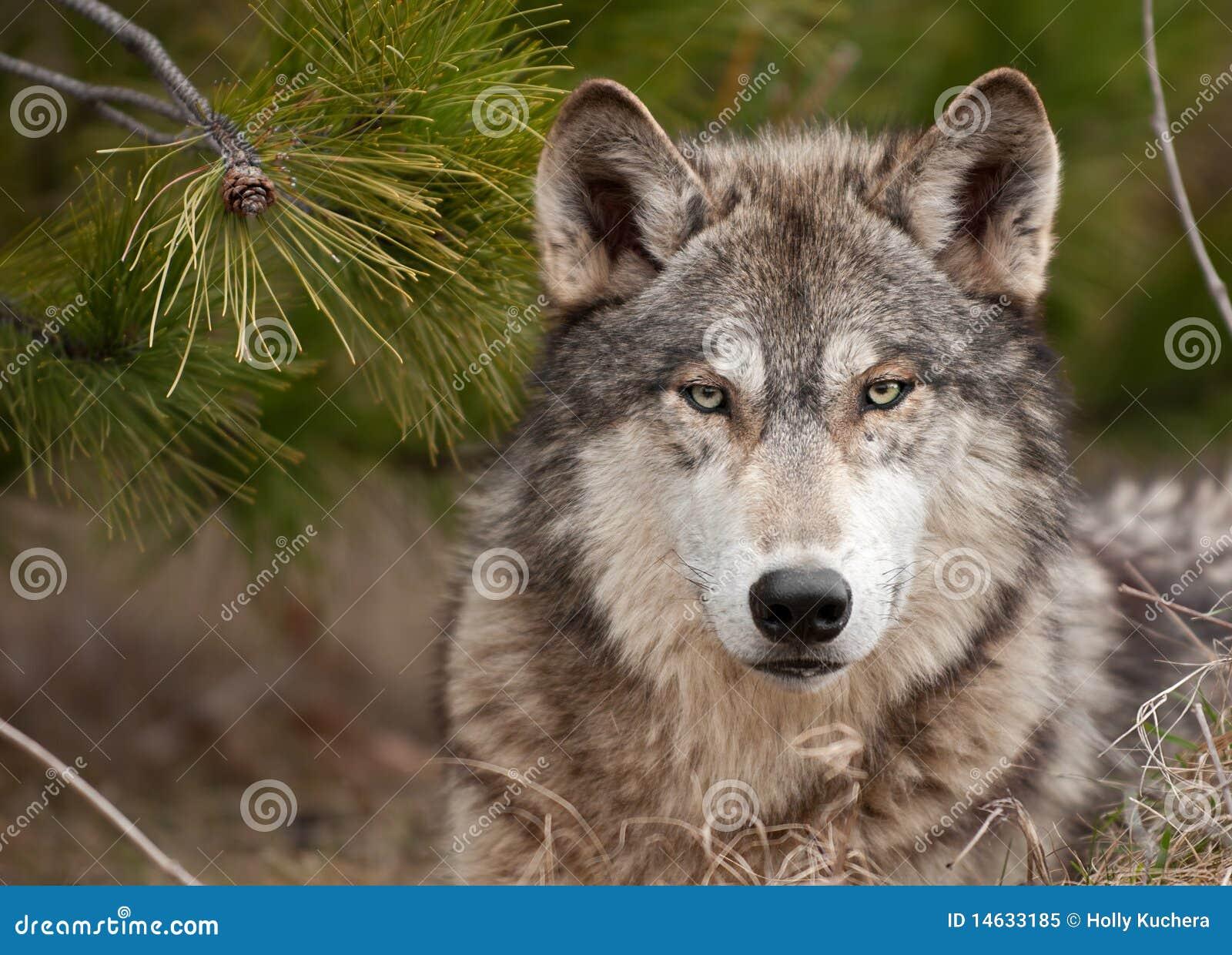 Intensiver Bauholz-Wolf (Canis Lupus) sitzt unter Kiefer