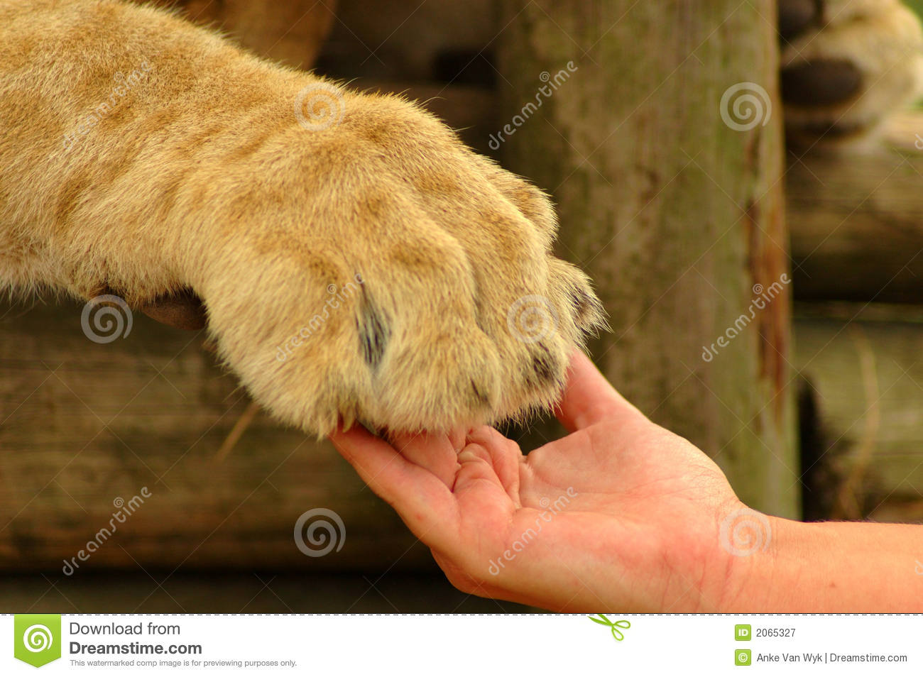 Interaction - Hand And Lion Paw Royalty Free Stock Photography - Image ...