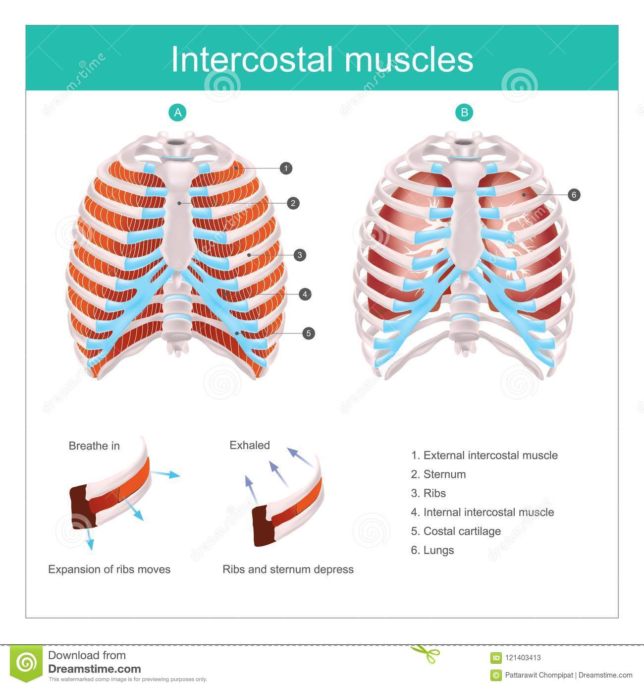 Intercostal Muscles Human Illustration Info Graphic Stock Vector