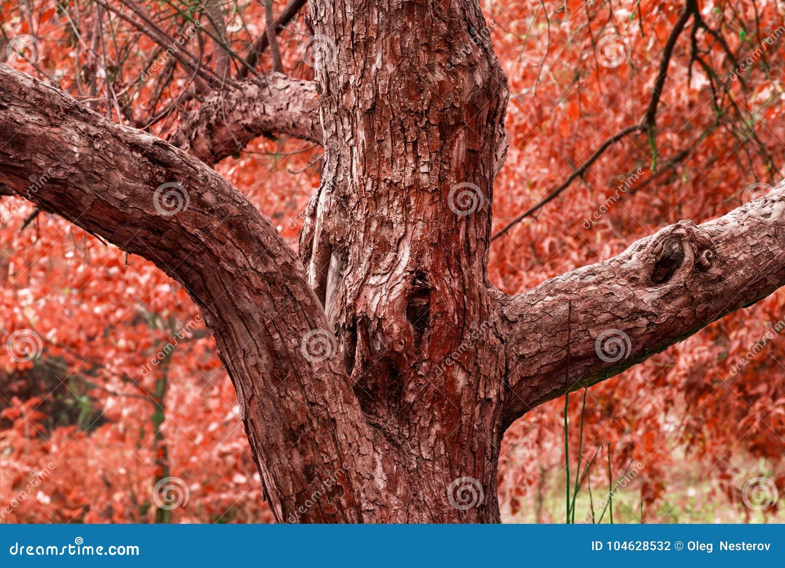 Download Interessante Boom In De Herfst Op Een Achtergrond Van Rood Gebladerte Stock Foto - Afbeelding bestaande uit textuur, boomstam: 104628532