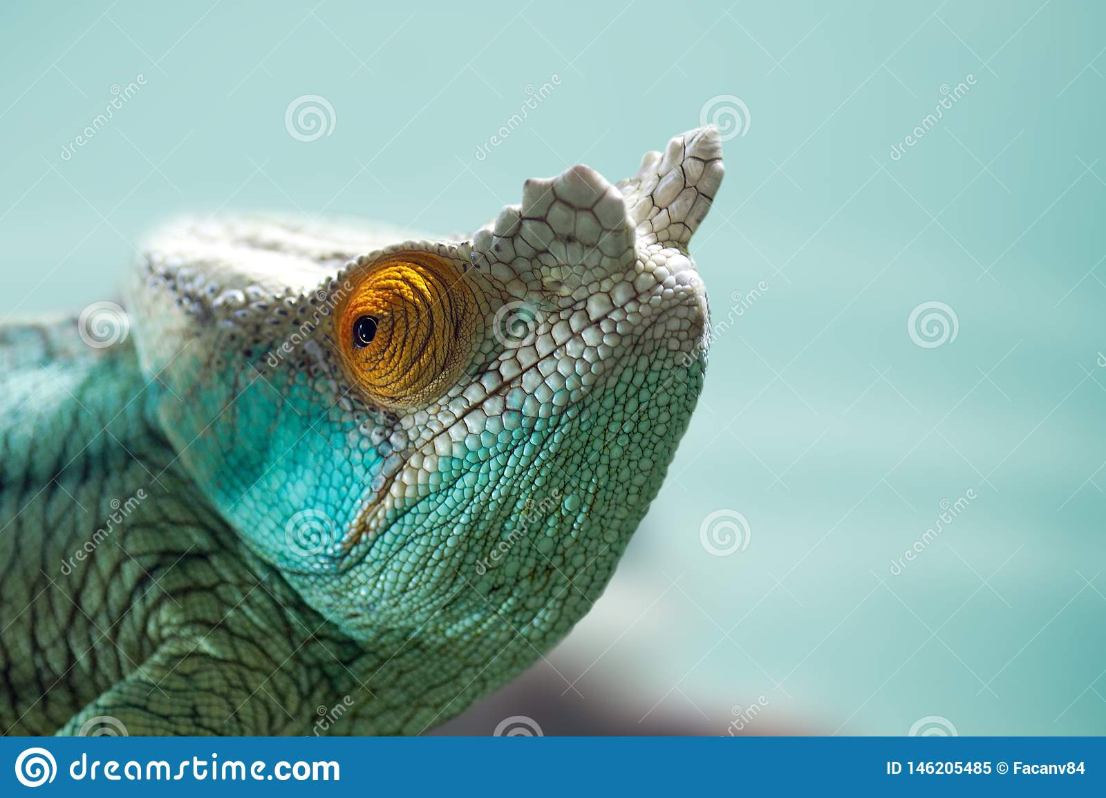 An interesting detail in nature. Portrait of a chameleon closeup. Blue colors in the baclground.