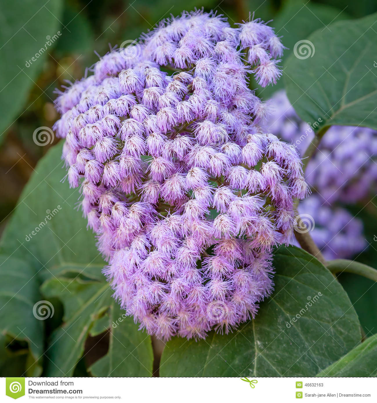 Interesting purple bloom of the blue mistflower conoclinium download interesting purple bloom of the blue mistflower conoclinium coelestinum stock image image izmirmasajfo